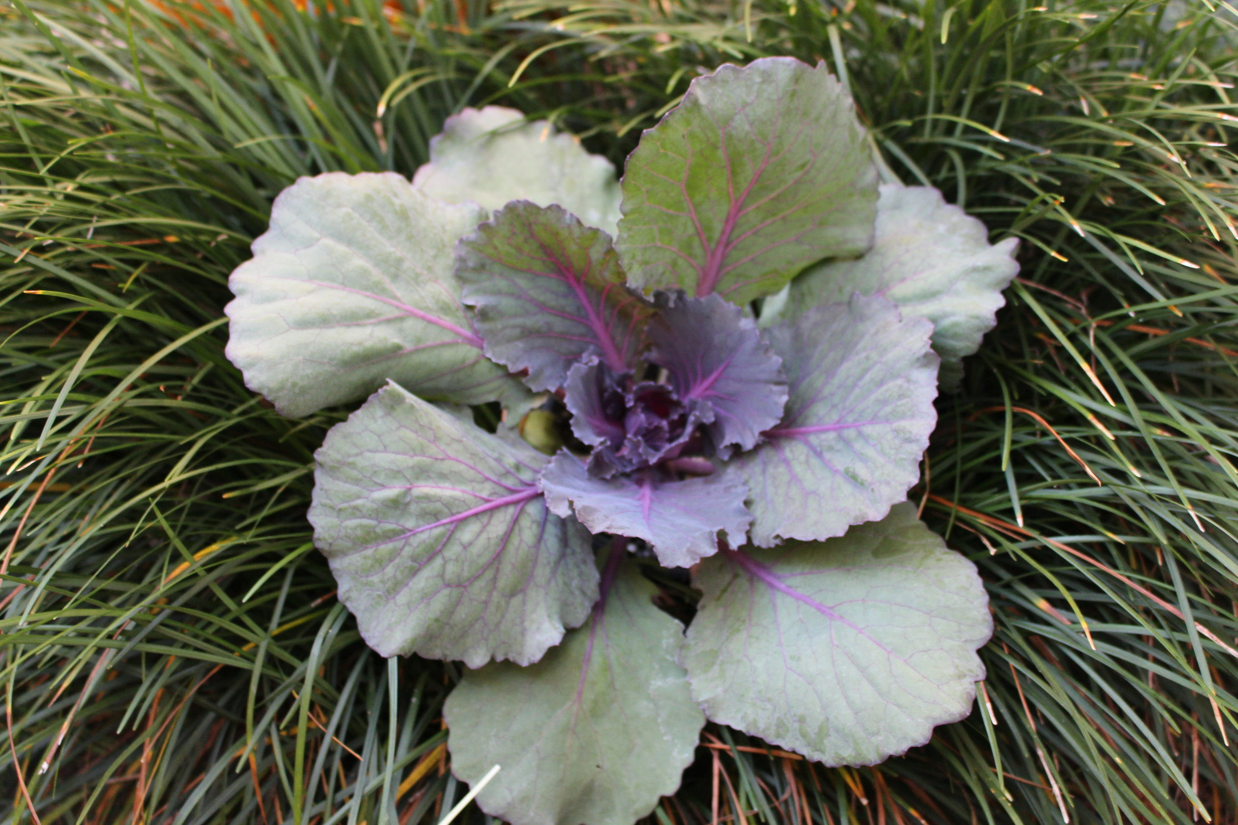 Ornamental Cabbage and Kale, cousins to the edible cabbage and kale are good complements planted along with Fall Mums and pansies. They are a great choice for mixed container gardening as well as landscape beds.