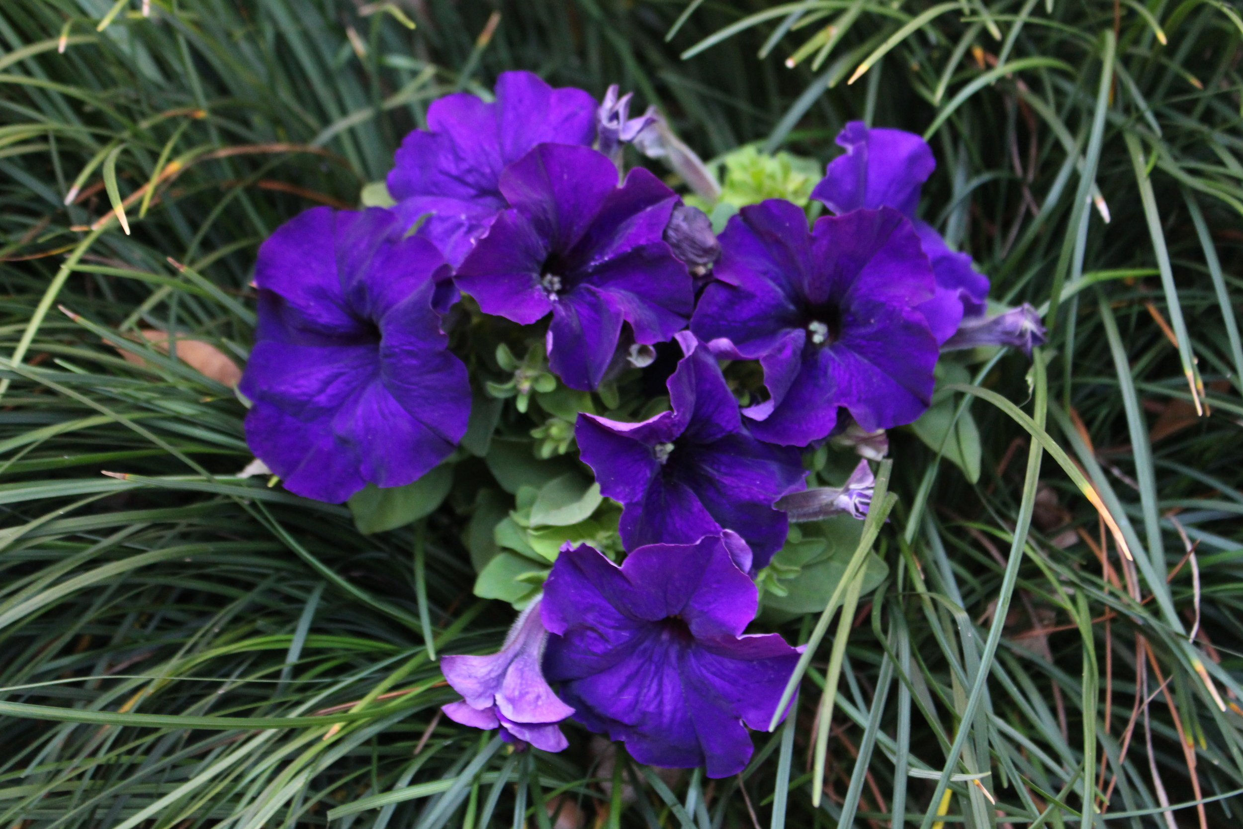 Petunias are an excellent choice for fall color. They are fast growers and relentless bloomers as long as they are planted and cared for properly. Petunias require a well-drained location and plenty of sun. They will bloom right up till frost.