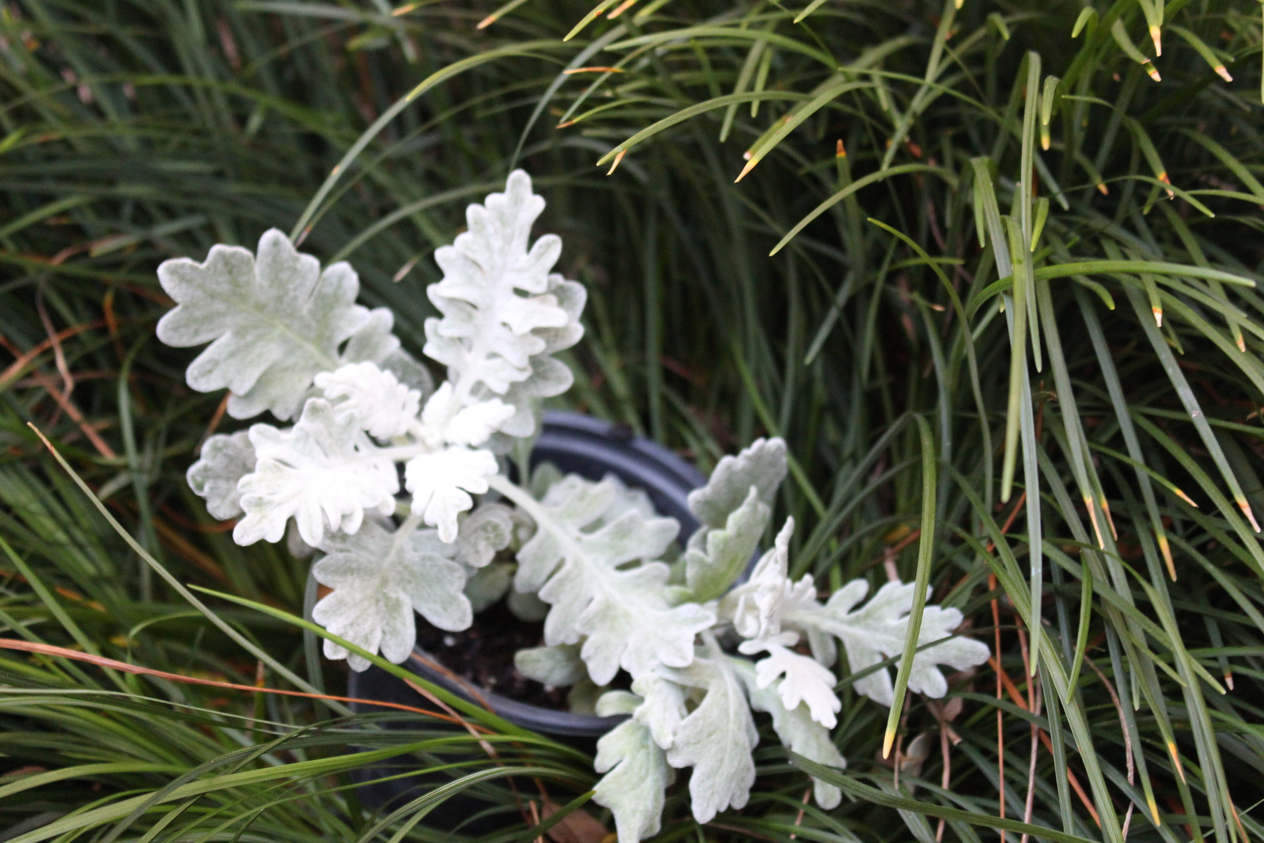 Dusty Miller is a great accent foliage plant for fall arrangements complementing the bright colors of pansies, mums, or petunias. Use it with flowering annuals and perennials in sunny areas or as an accent plant in containers, It mixes well with other annuals.