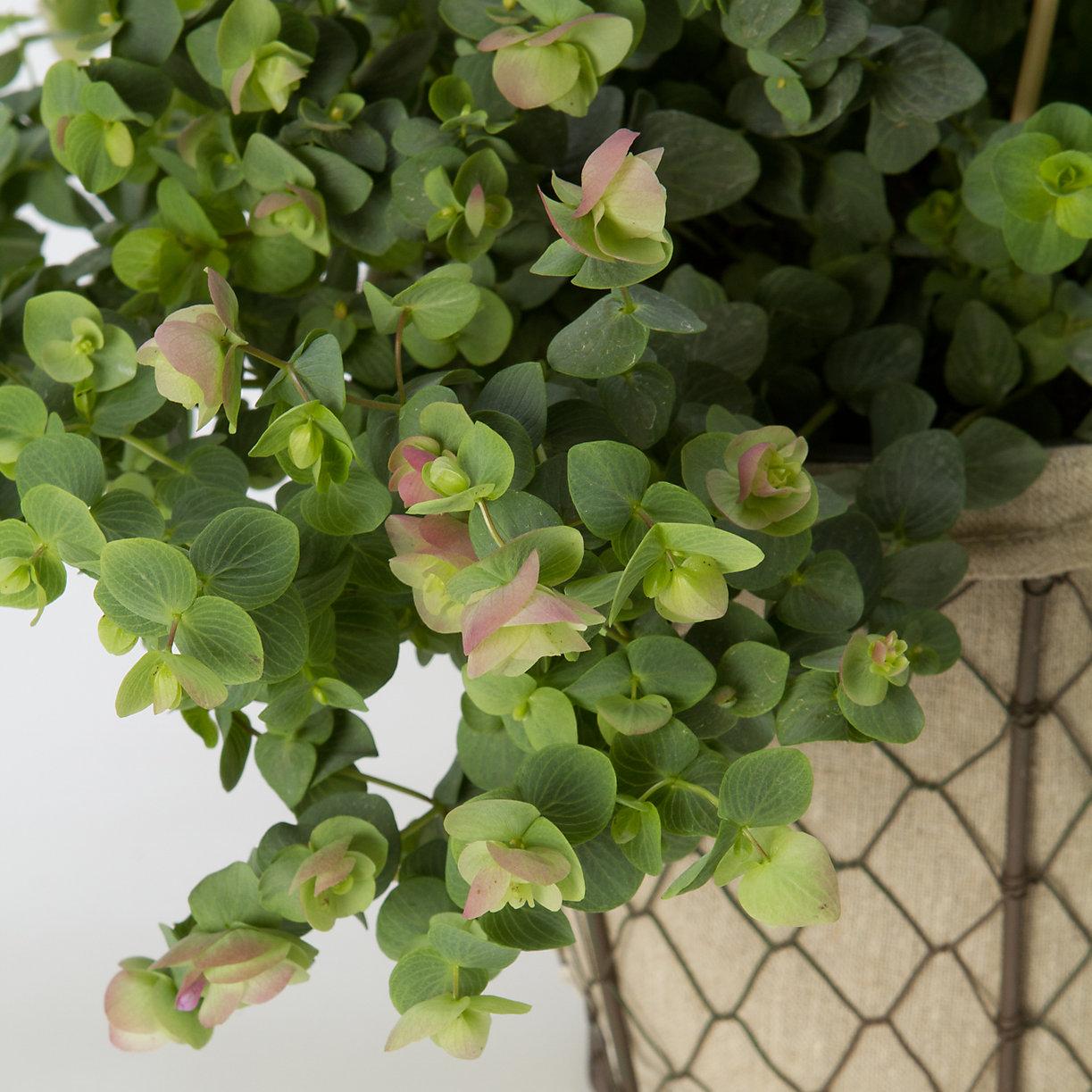 Terrain Flowering Oregano