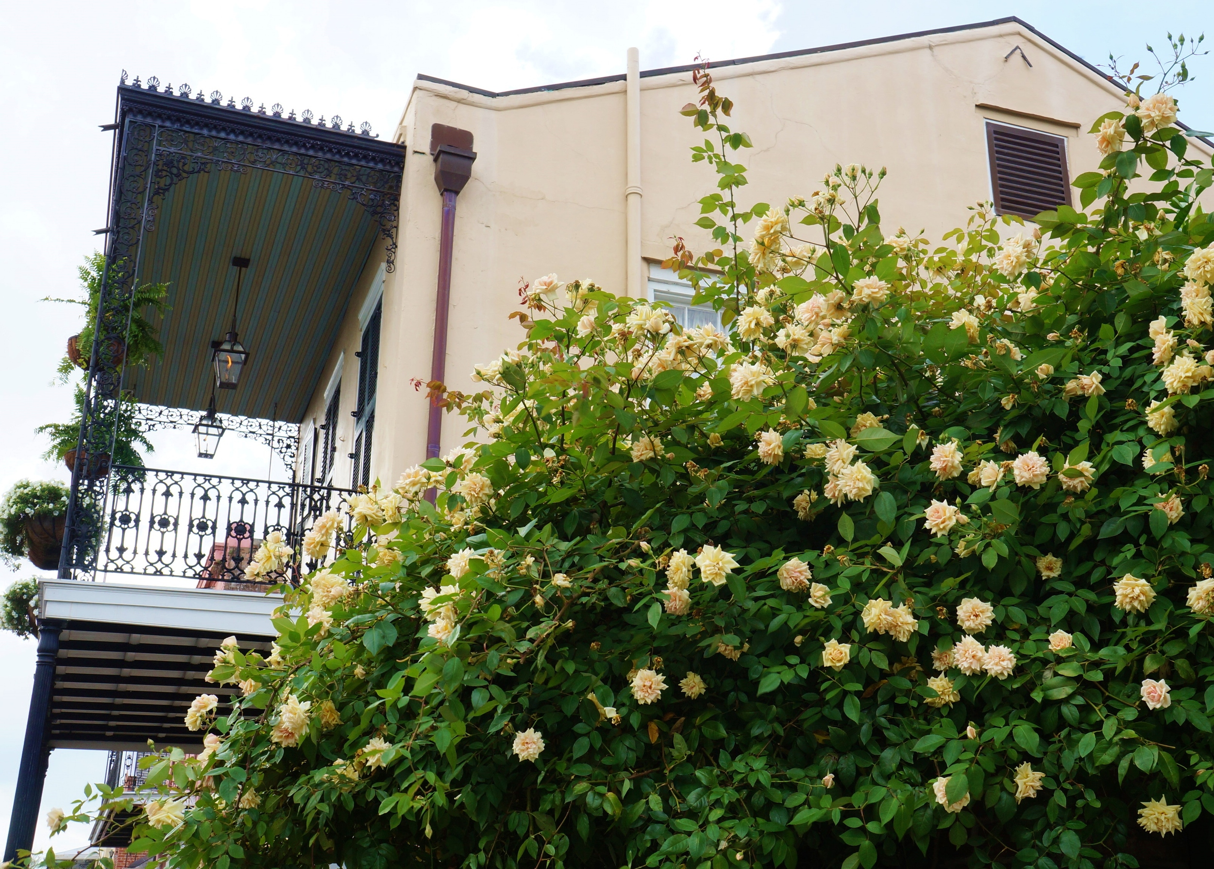 Massive French Quarter Rose Bush
