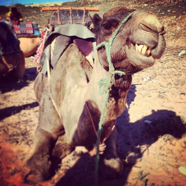 Coco the camel