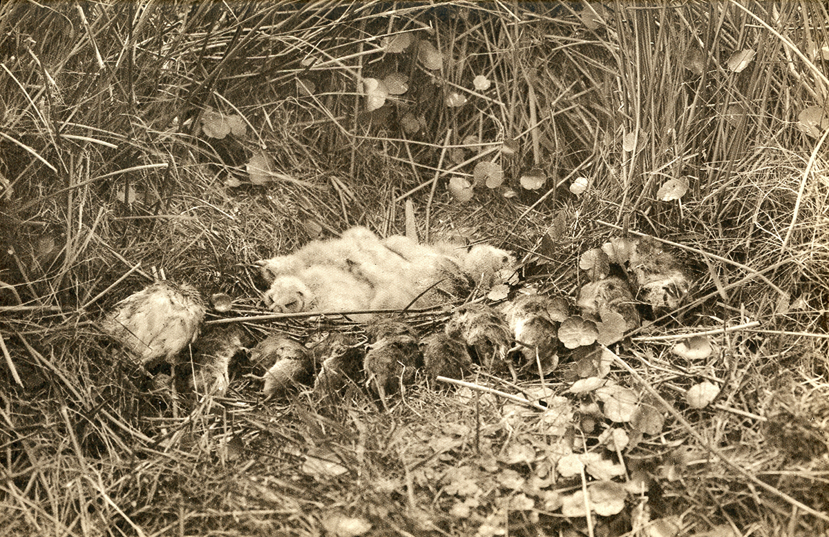 Thomson's adjusted composition showing the various food cache items at the Short-eared Owl's nest.