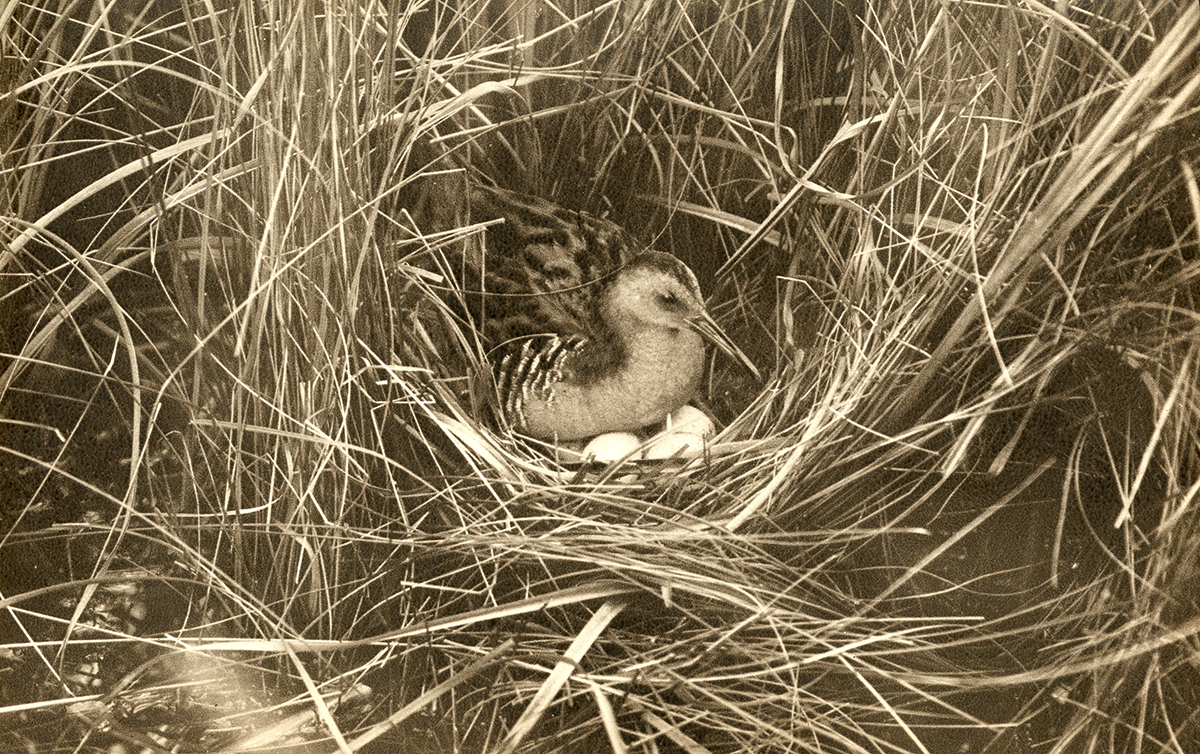 Water Rail with eggs.
