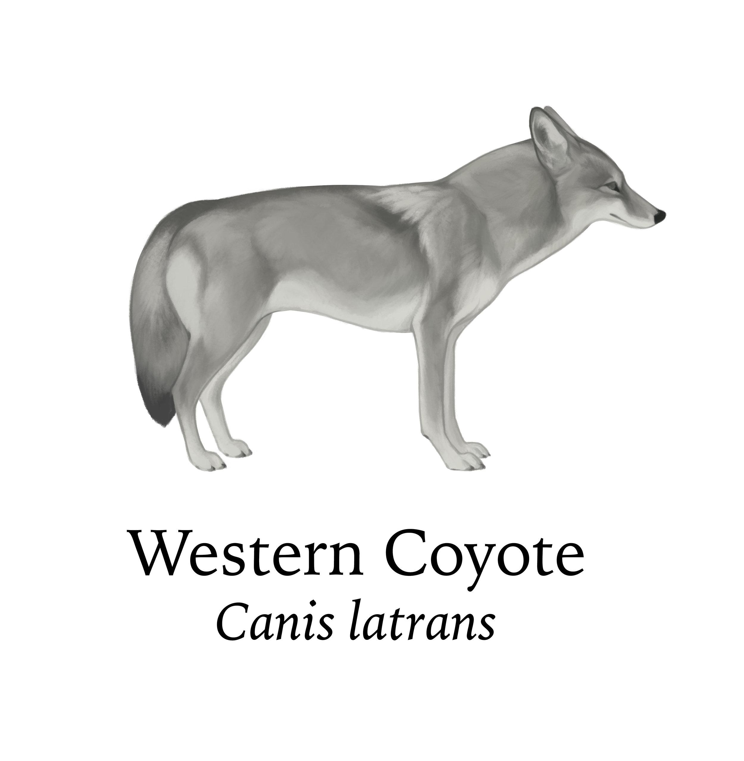Crop_westerncoyote.jpg