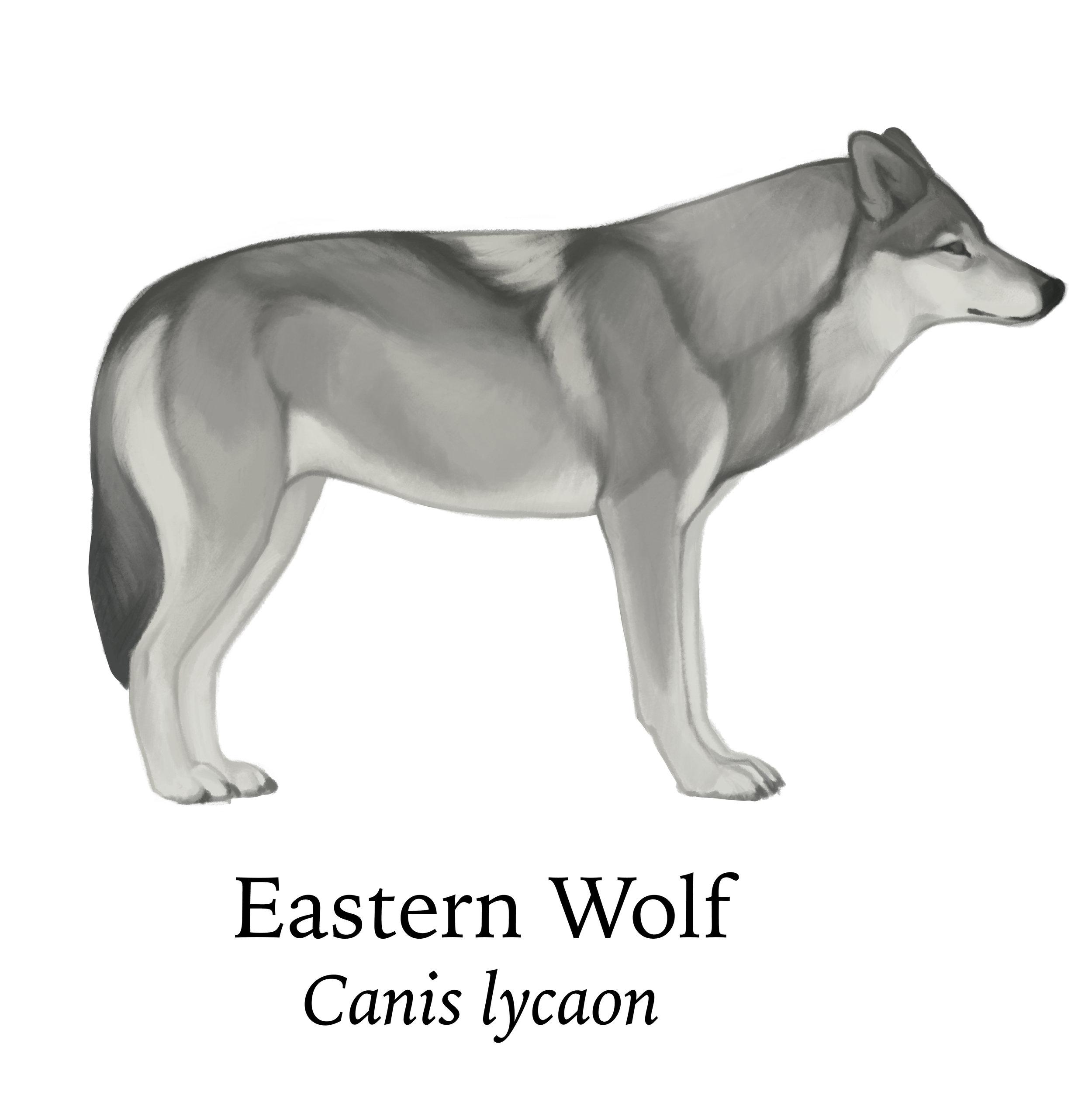Crop_easternwolf.jpg
