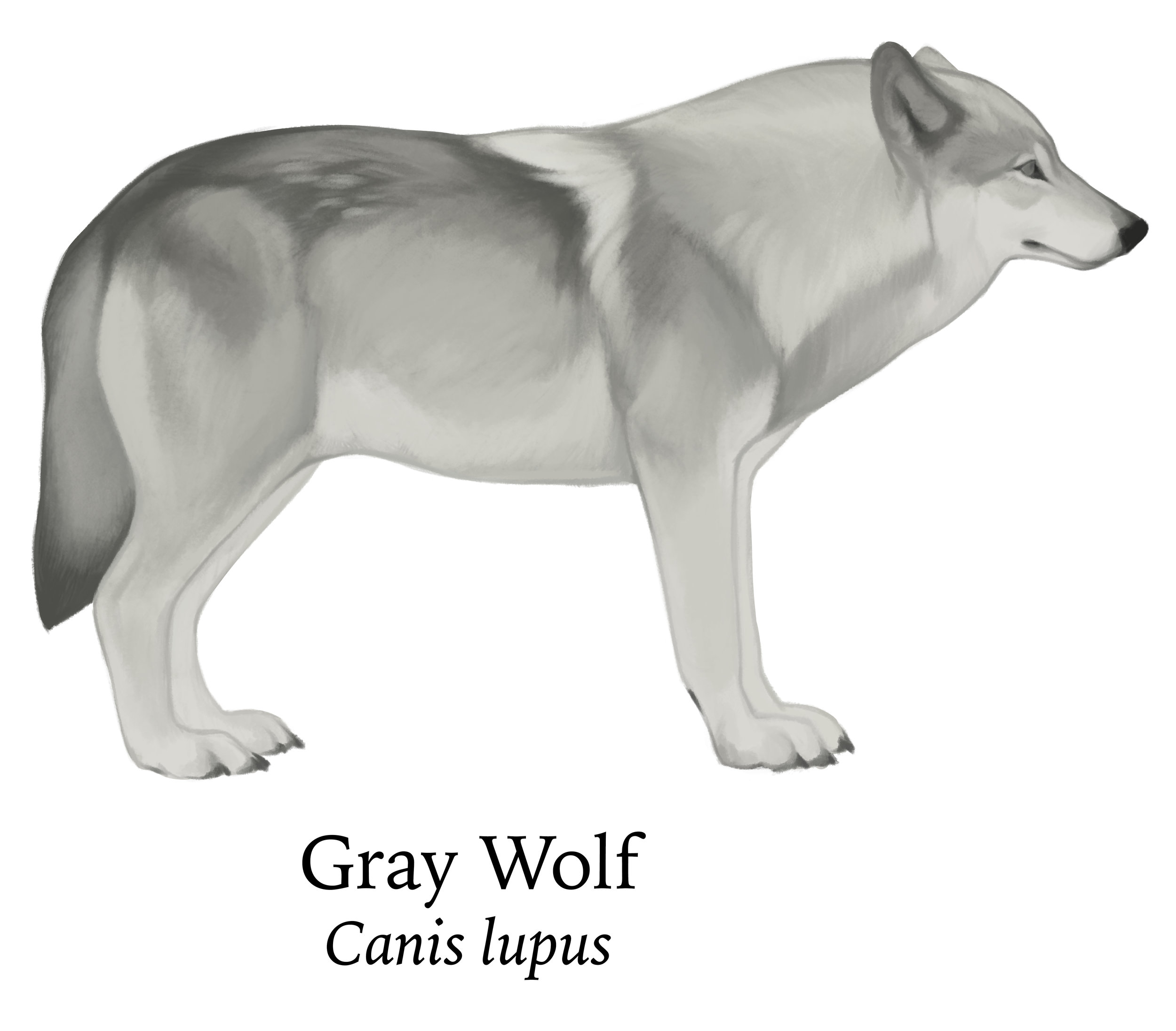 Crop_graywolf.jpg