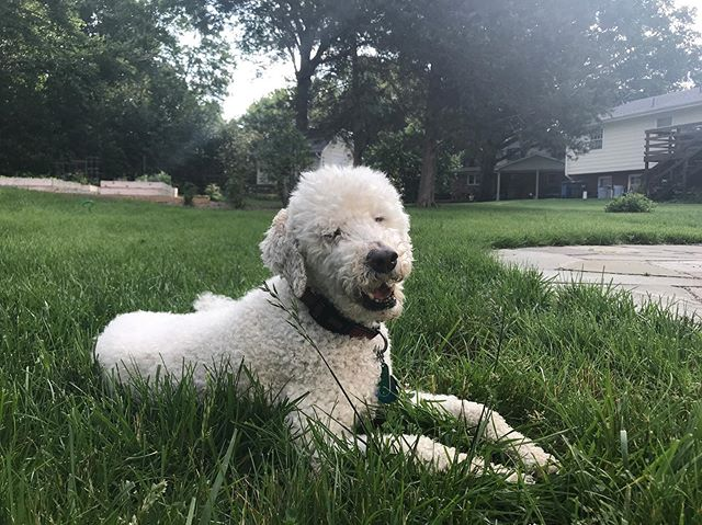 I said goodbye to my main man, my brother, Boomer today. He was 15 years old which means he's been a part of more than half of my life. He was the best boy in the world. He gave so much love and he never held a grudge. He listened to songs I was figuring out, and he was always a good friend to go on a walk with. I'm going to miss him. #mansbestfriend