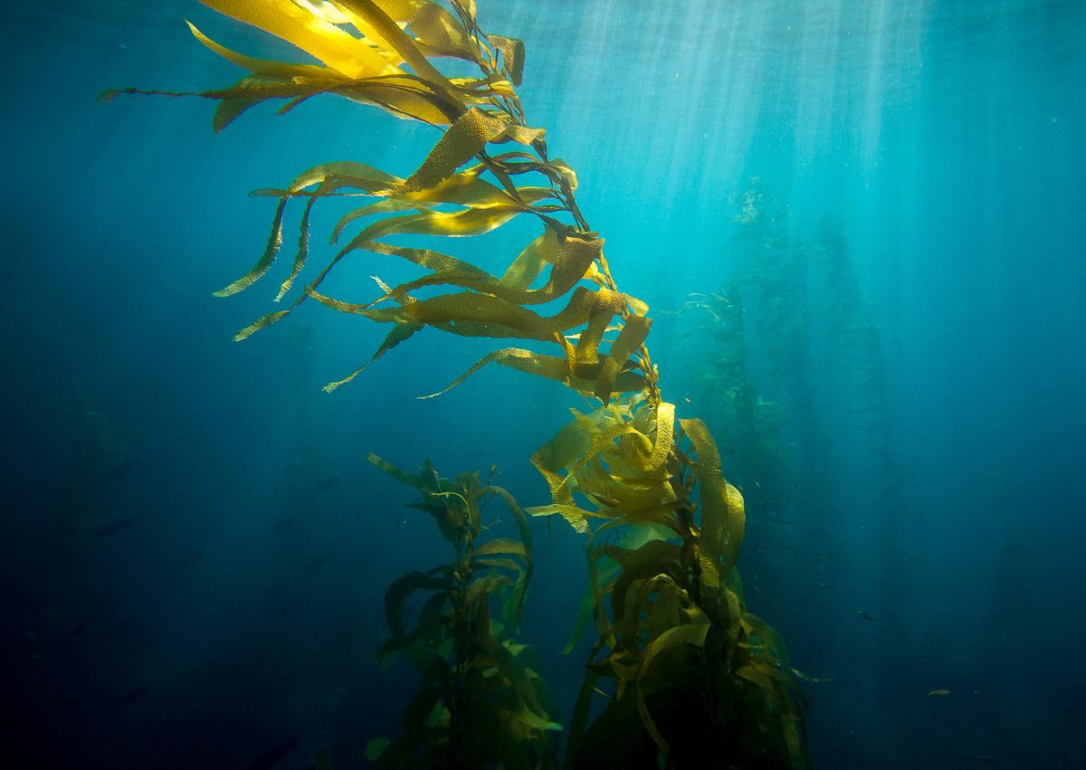 channelIslands_kelp_forest_schedler.jpg
