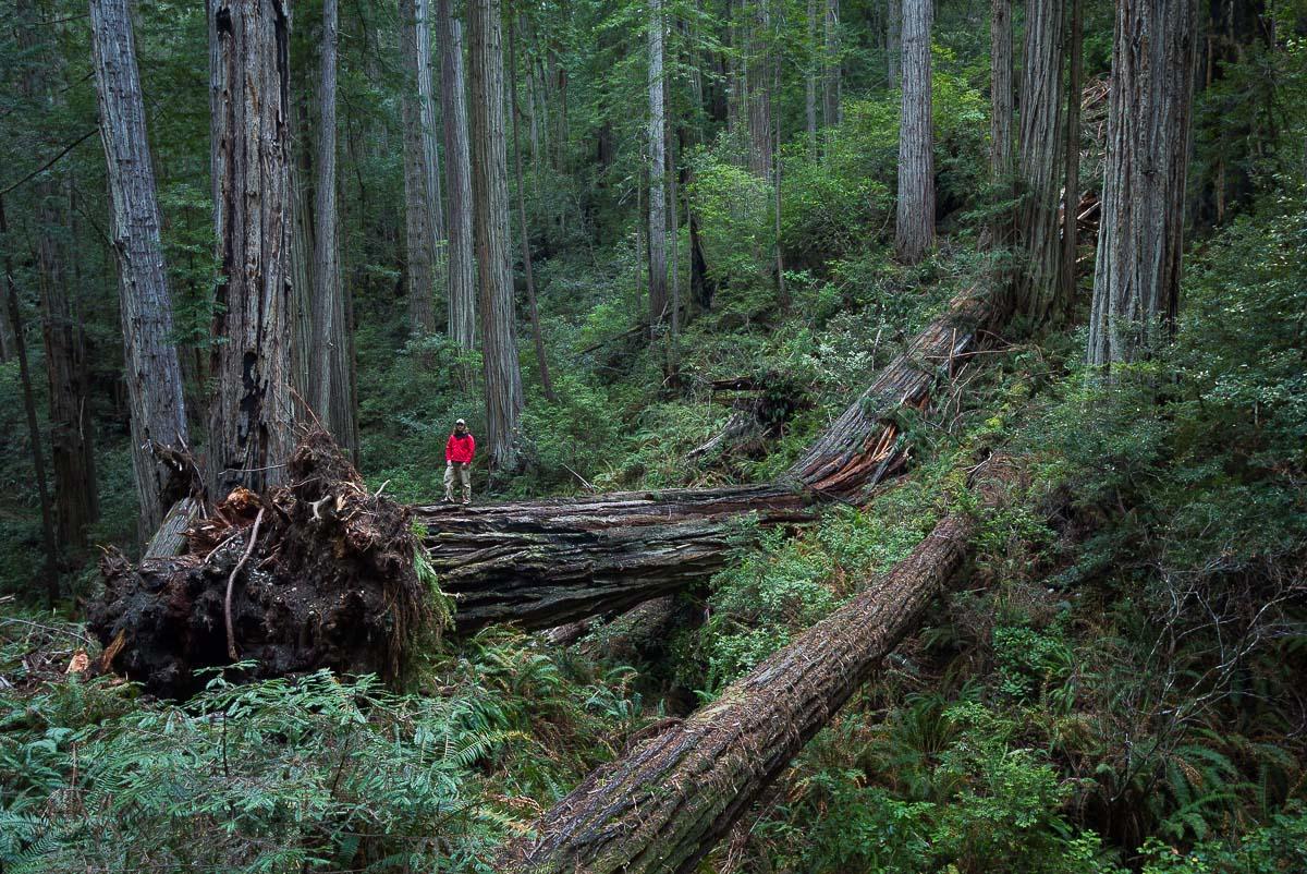 fallen_redwood_tree_schedler.jpg