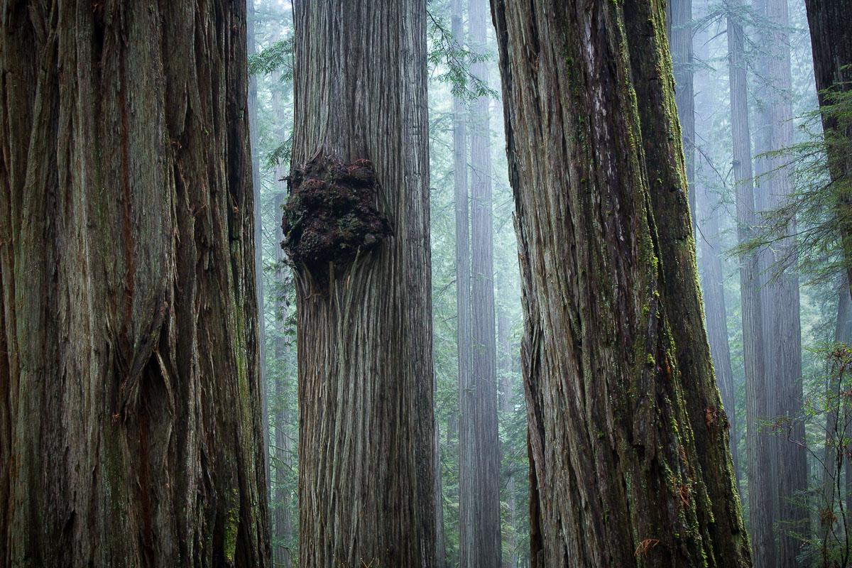jedSmith_redwoods_california_schedler.jpg