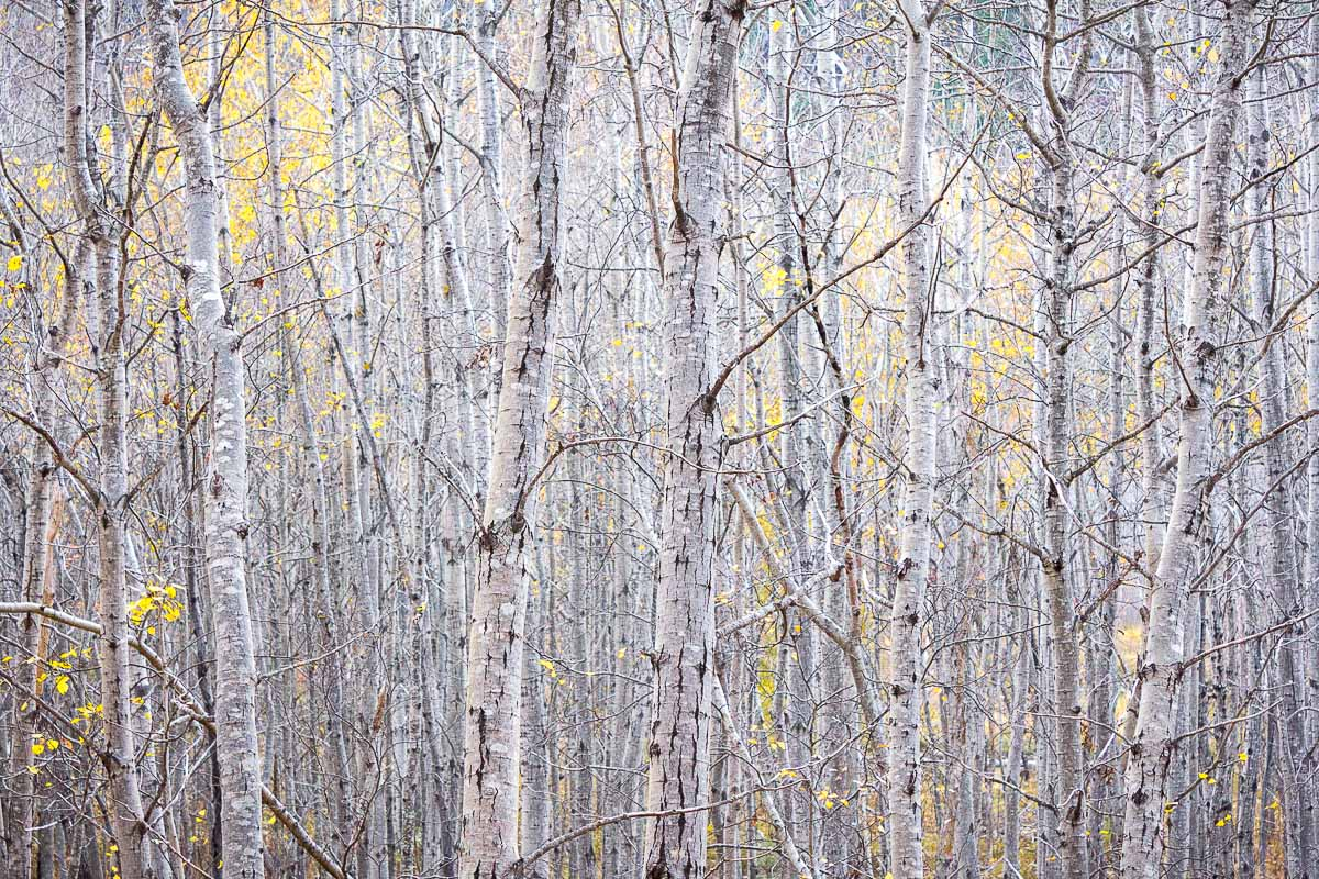 acadia_birchTrees_abstract_fall.jpg
