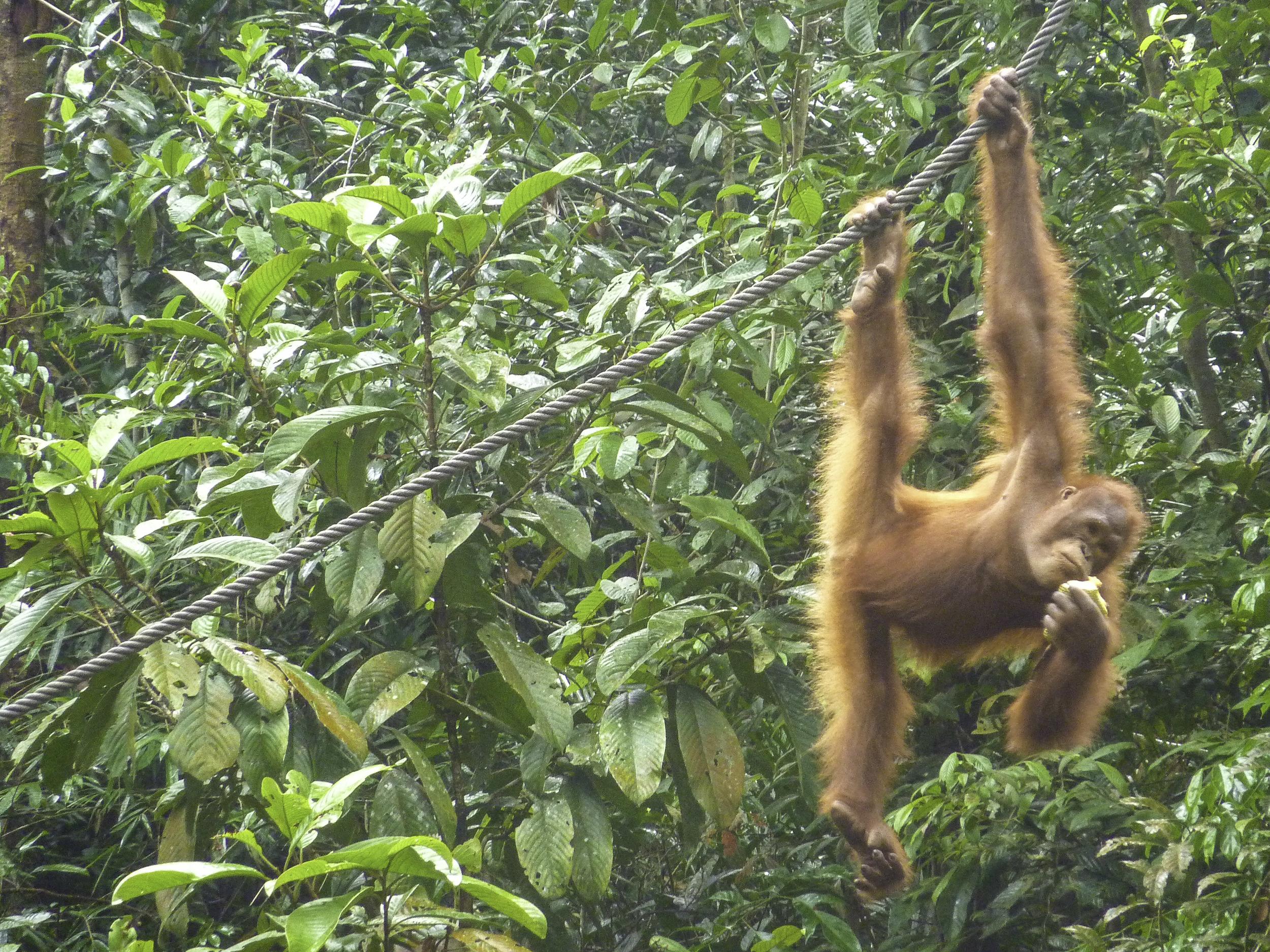 Orangatang Borneo thisworldexists this world exists monkey tom jessett