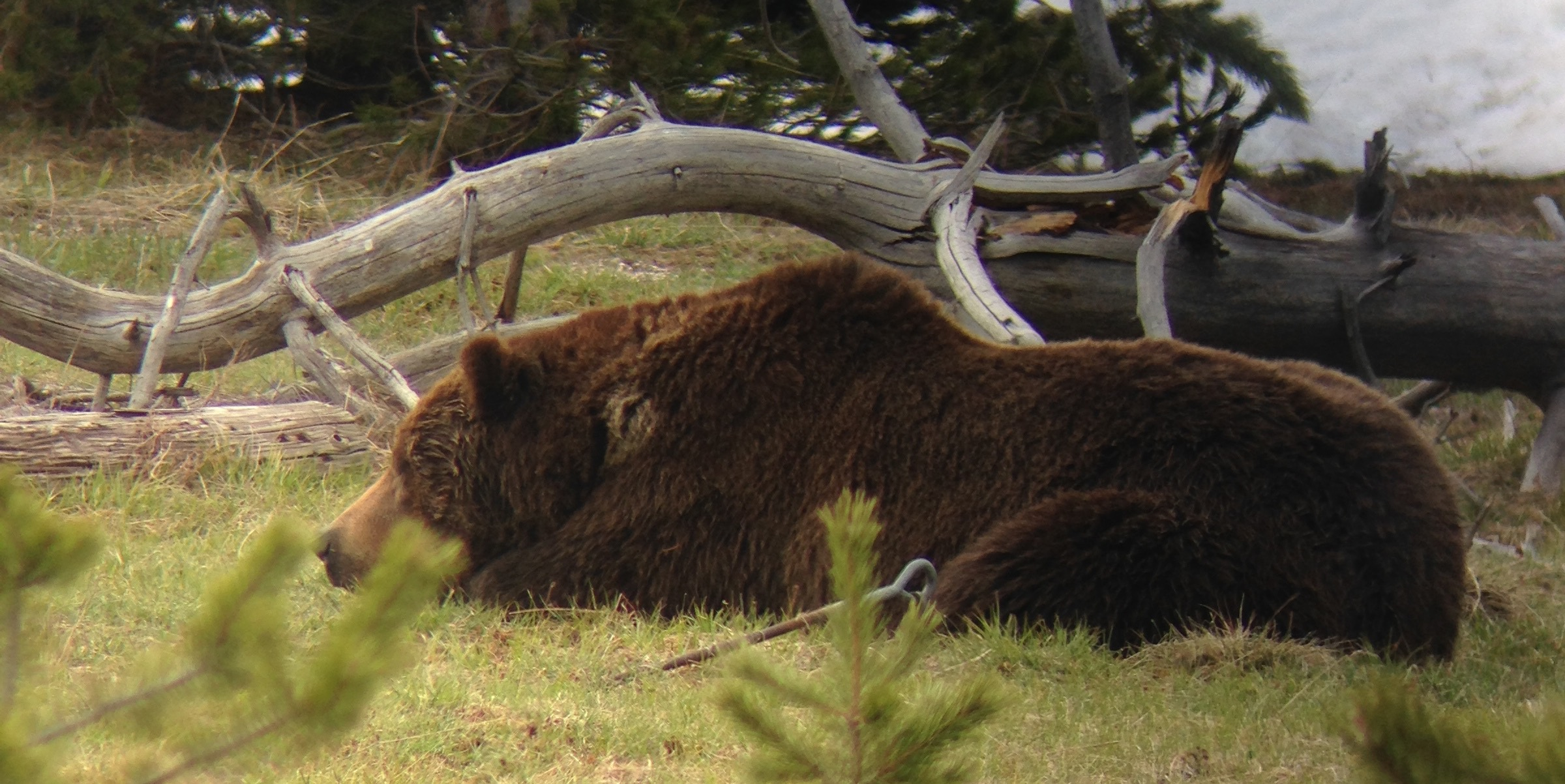 Grizzly bear hanging out in Yellowstone
