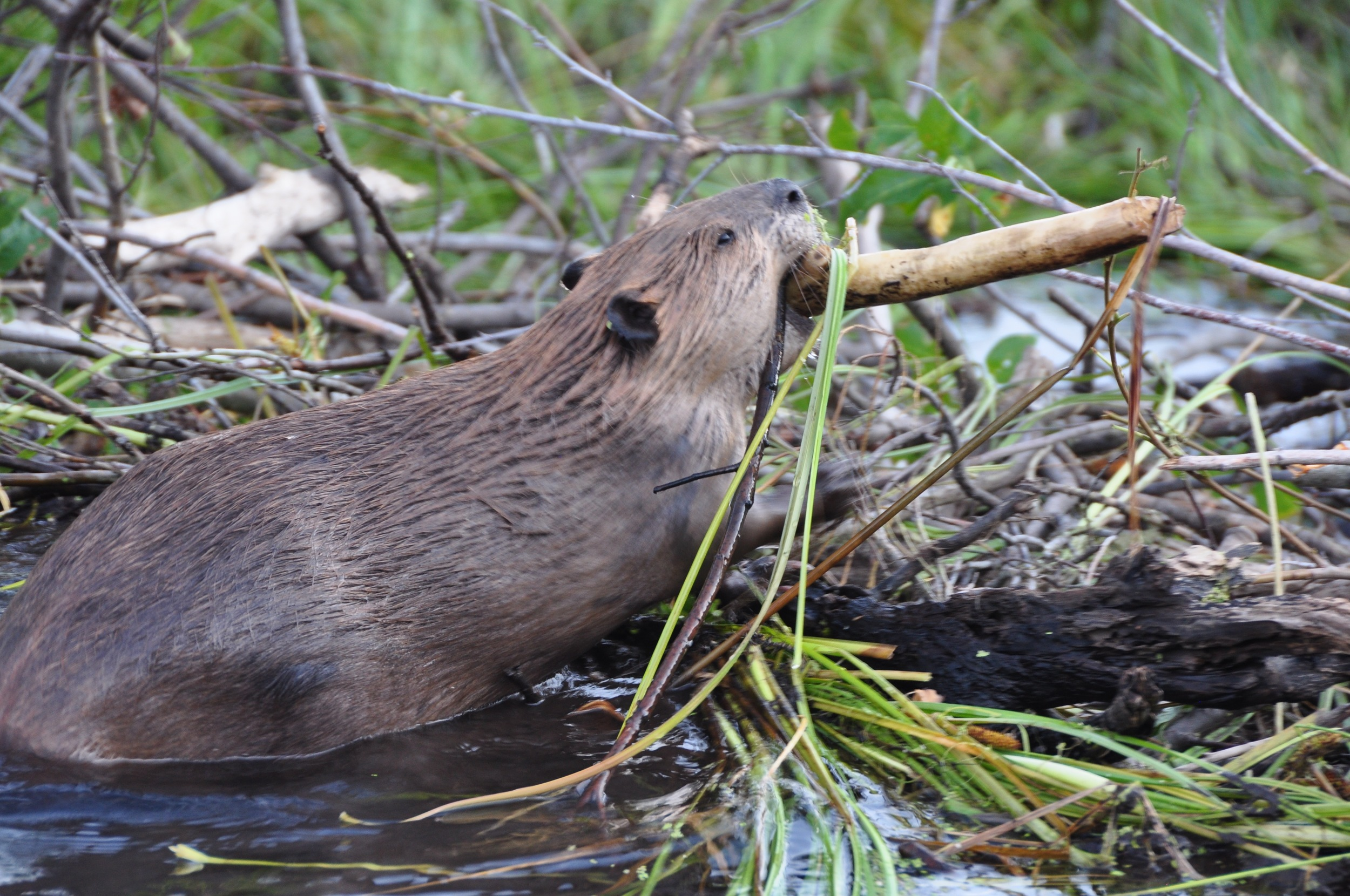 A BEaver building a Dam in Yellowstone NAtional Park