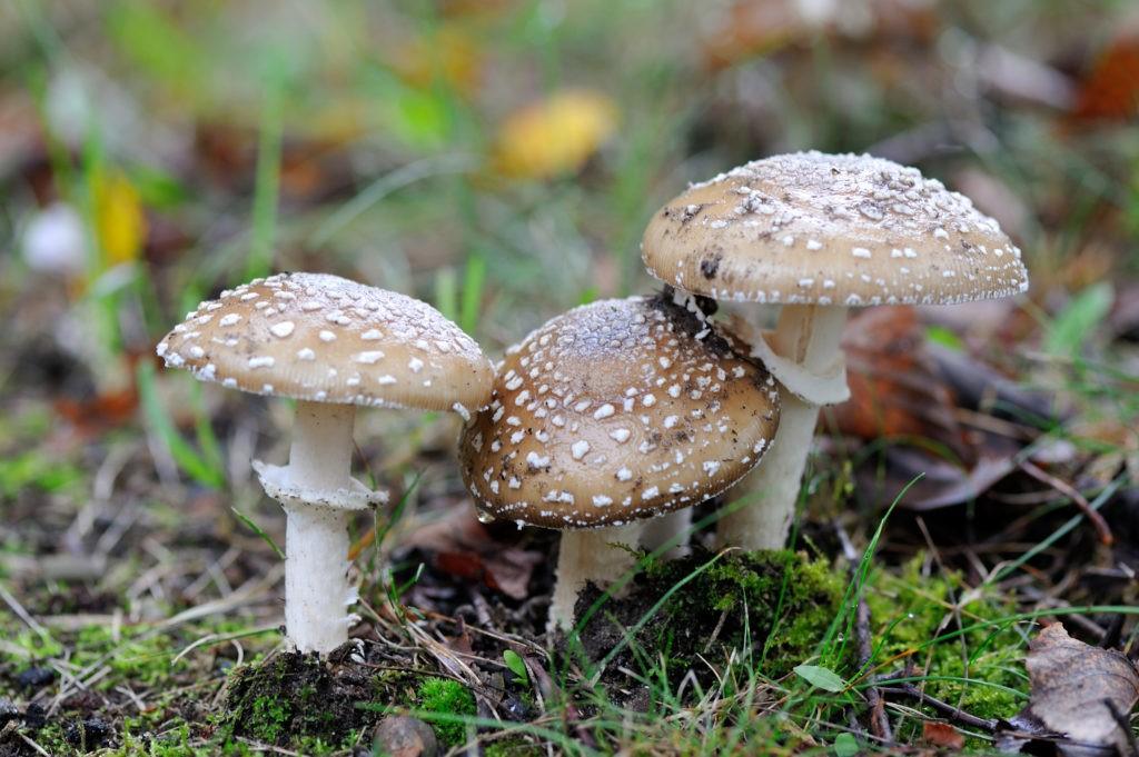 xoxazole mushrooms [Amanita muscaria (fly agaric), Amanita pantherina (panther mushroom)]   Pavlo Burdyak/Shutterstock.com