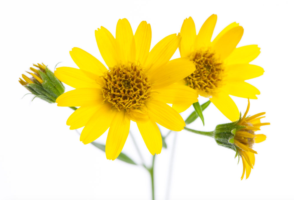 Arnica Montana, dried flowers (USDA certified organic)
