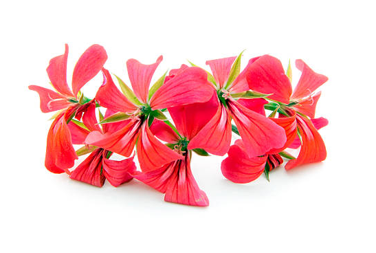 Rose Geranium Hydrosol and Essential Oil (USDA certified organic)