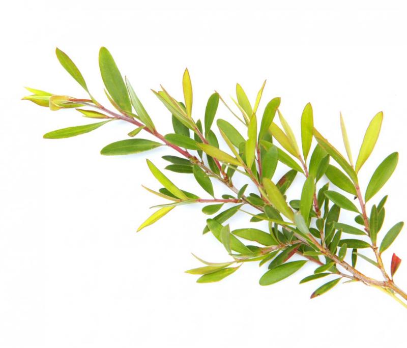 Tea Tree Essential Oil, Australian (USDA certified organic)