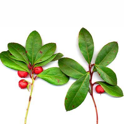 Wintergreen Essential Oil (USDA certified organic)
