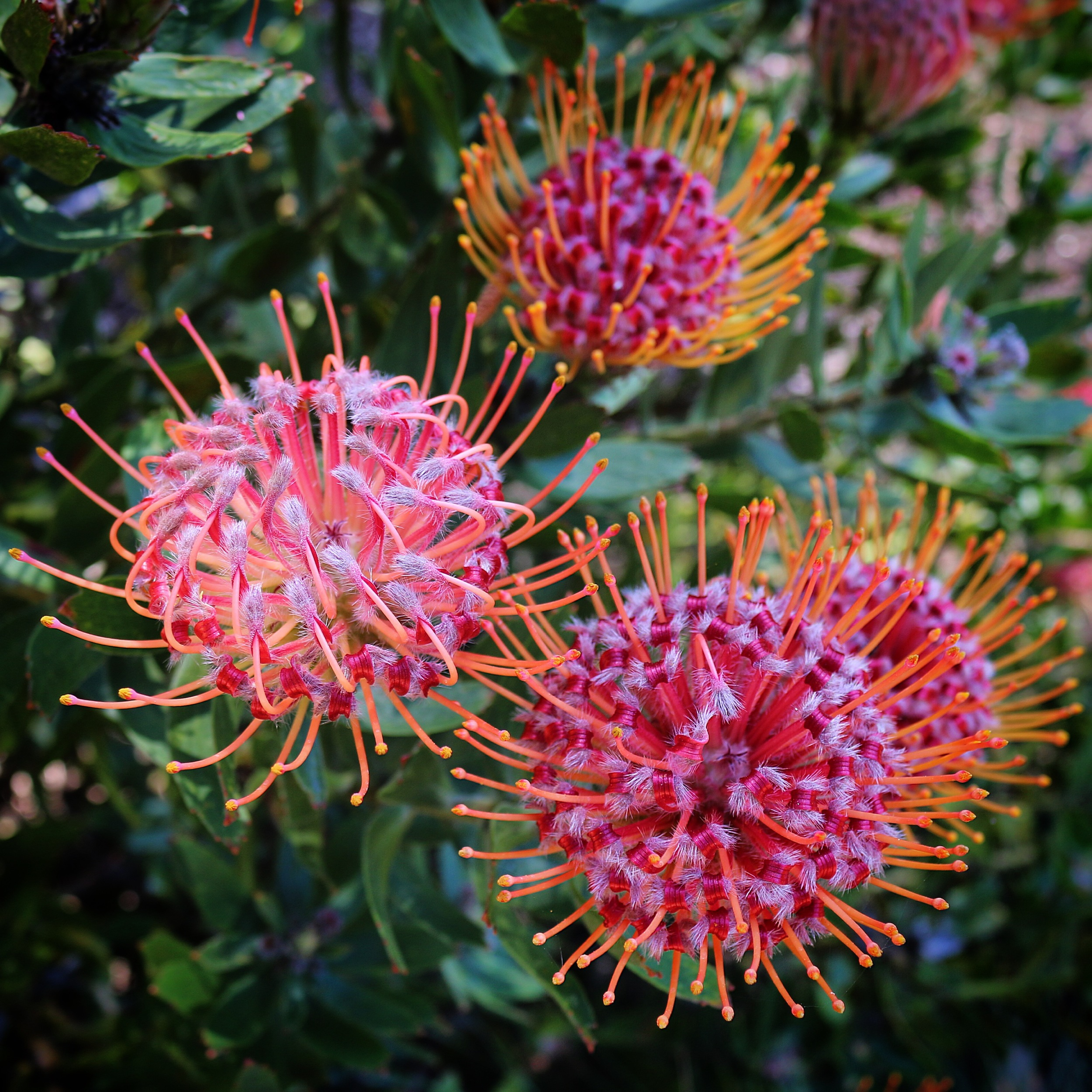 Leucospermum 'Scarlet Ribbon', a South African native, does very well in the Bay Area.