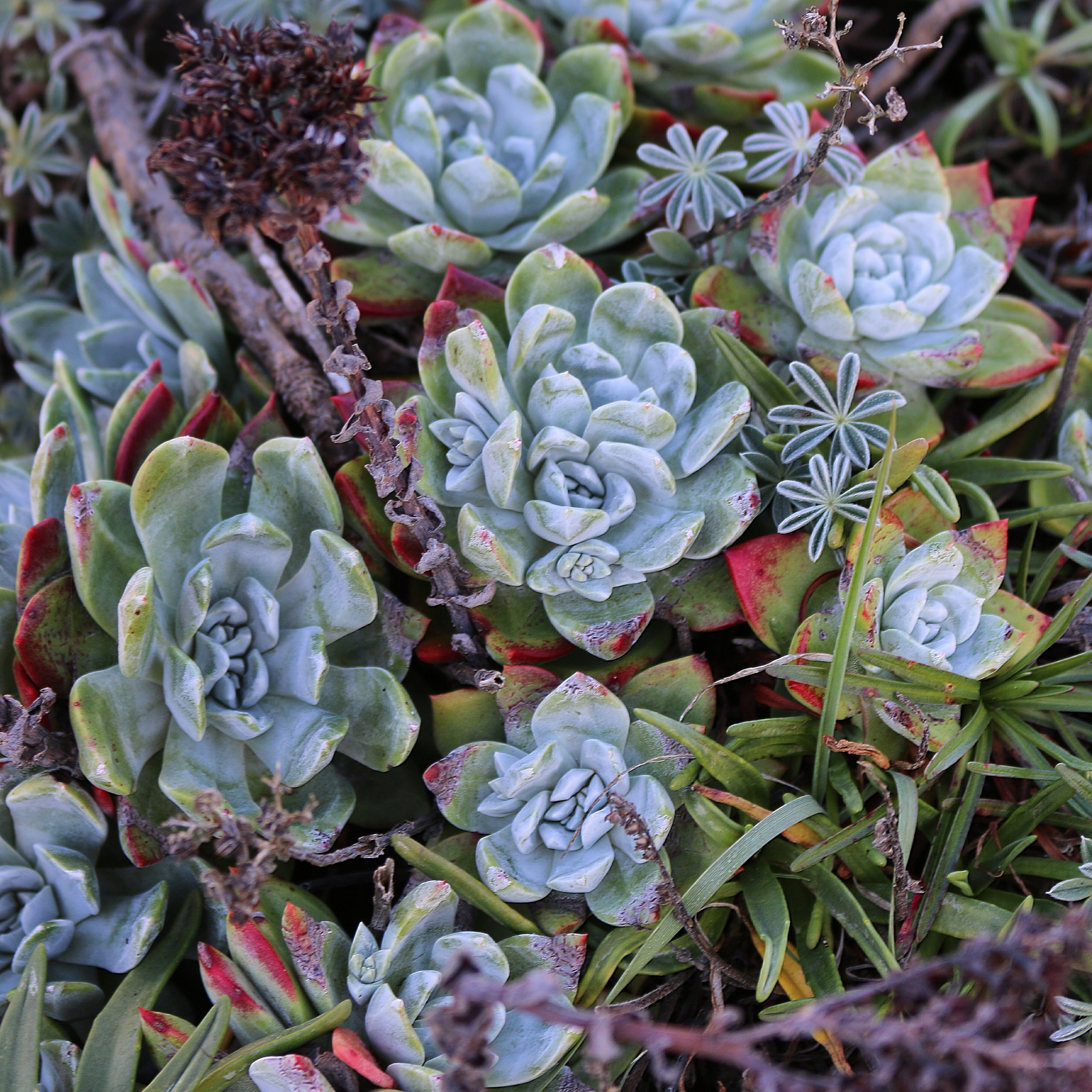 Dudleya farinosa, native to San Francisco coast