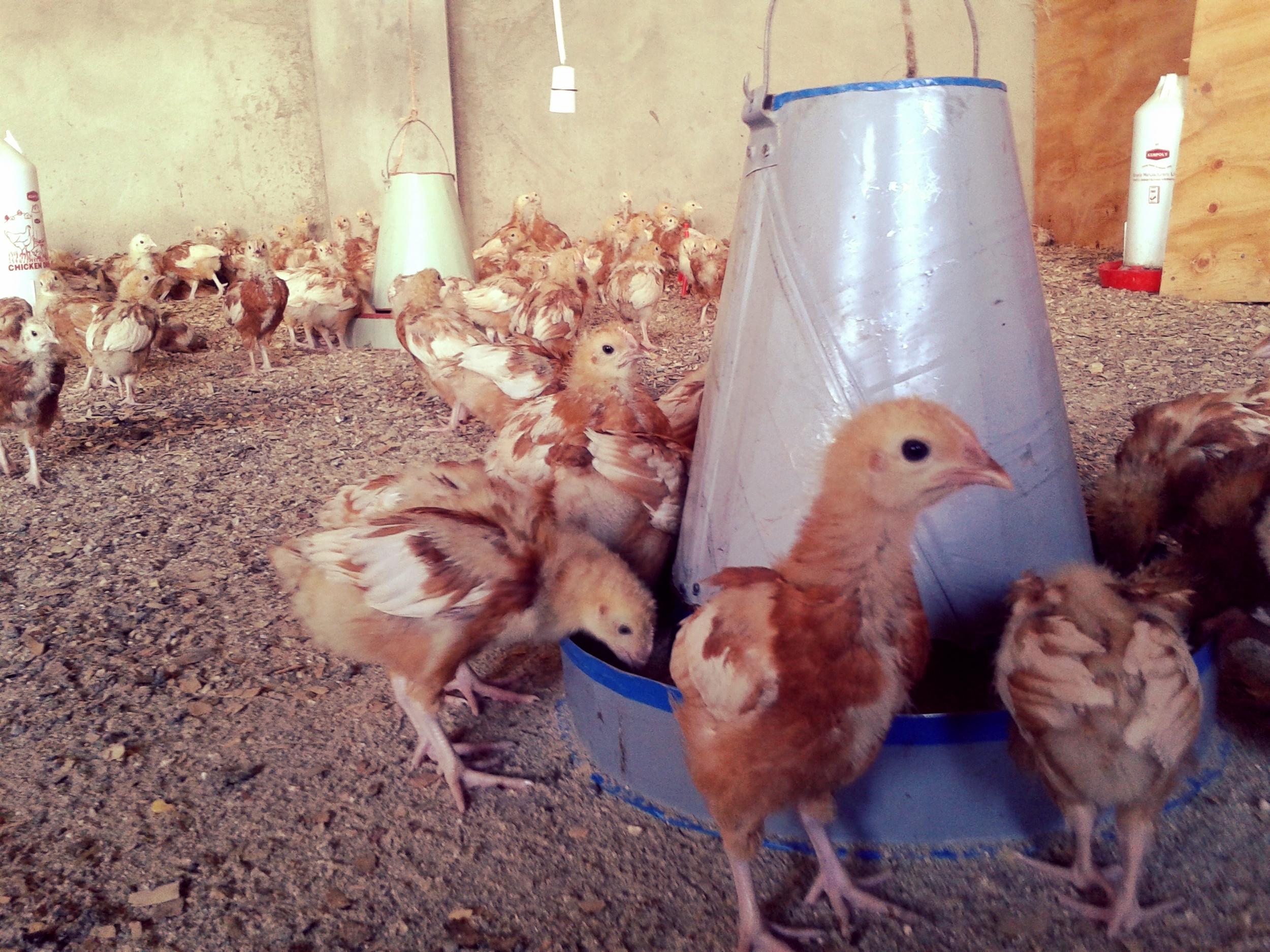Chickens 6.jpg