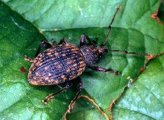 Tree Squad gets rid of Black Vine Weevil