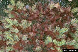 Tree Squad can help trees with Rhizosphaera Needle Cast