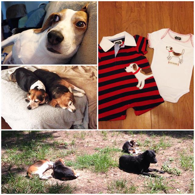 beagle-dogs.jpg