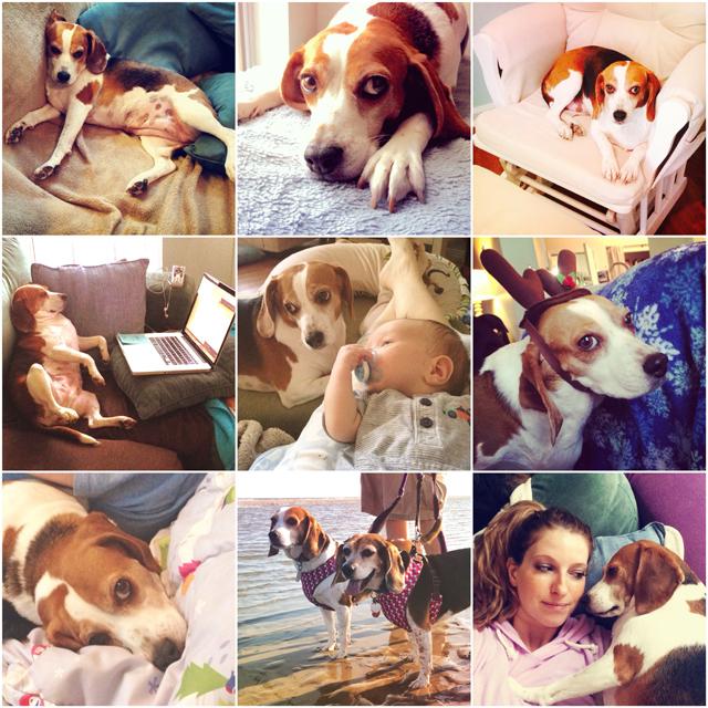 autumn-beagle.jpg