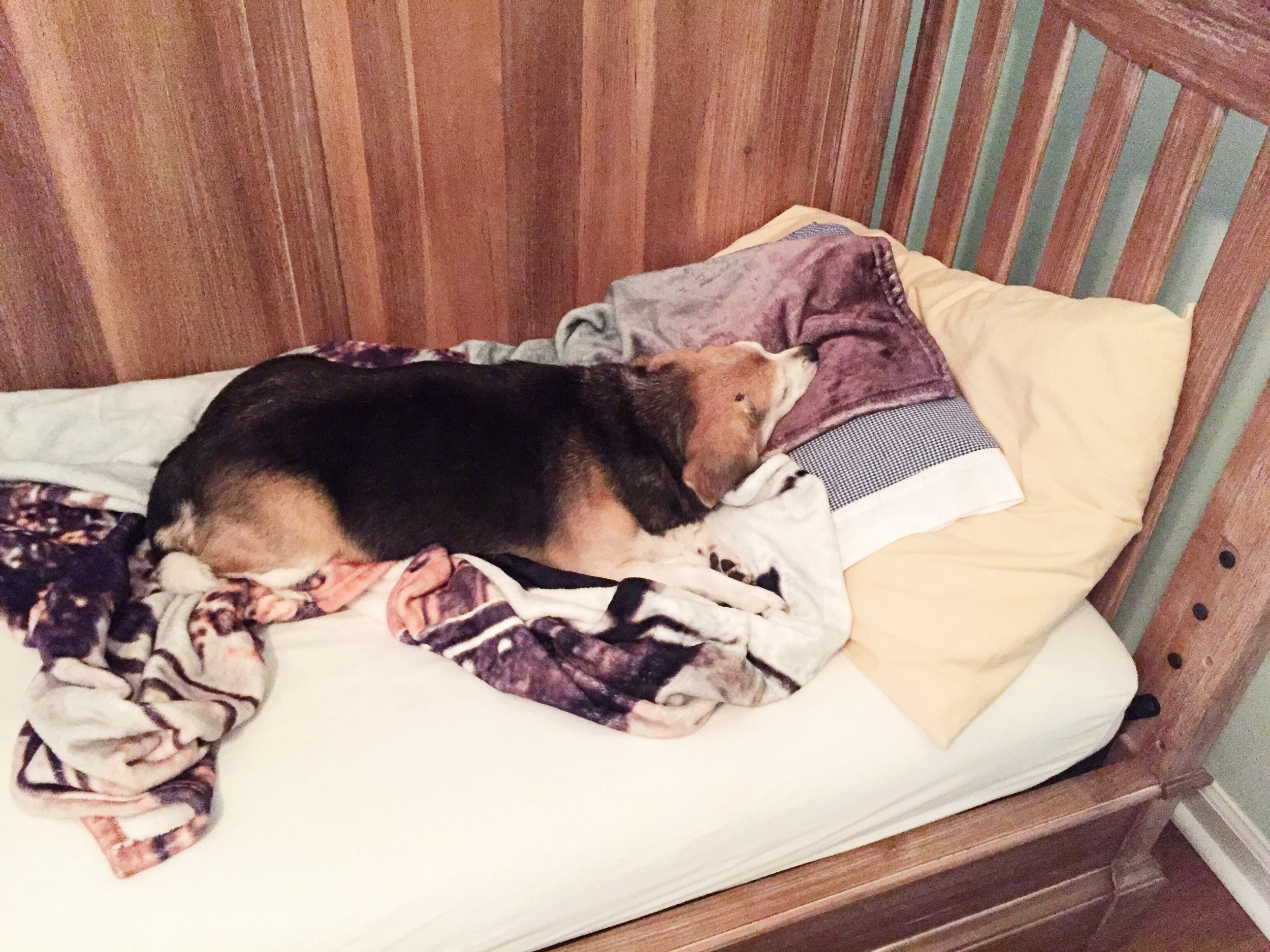 One of the dogs decided she liked B's new bed and decided to take a snooze in it (before we put the rails up)