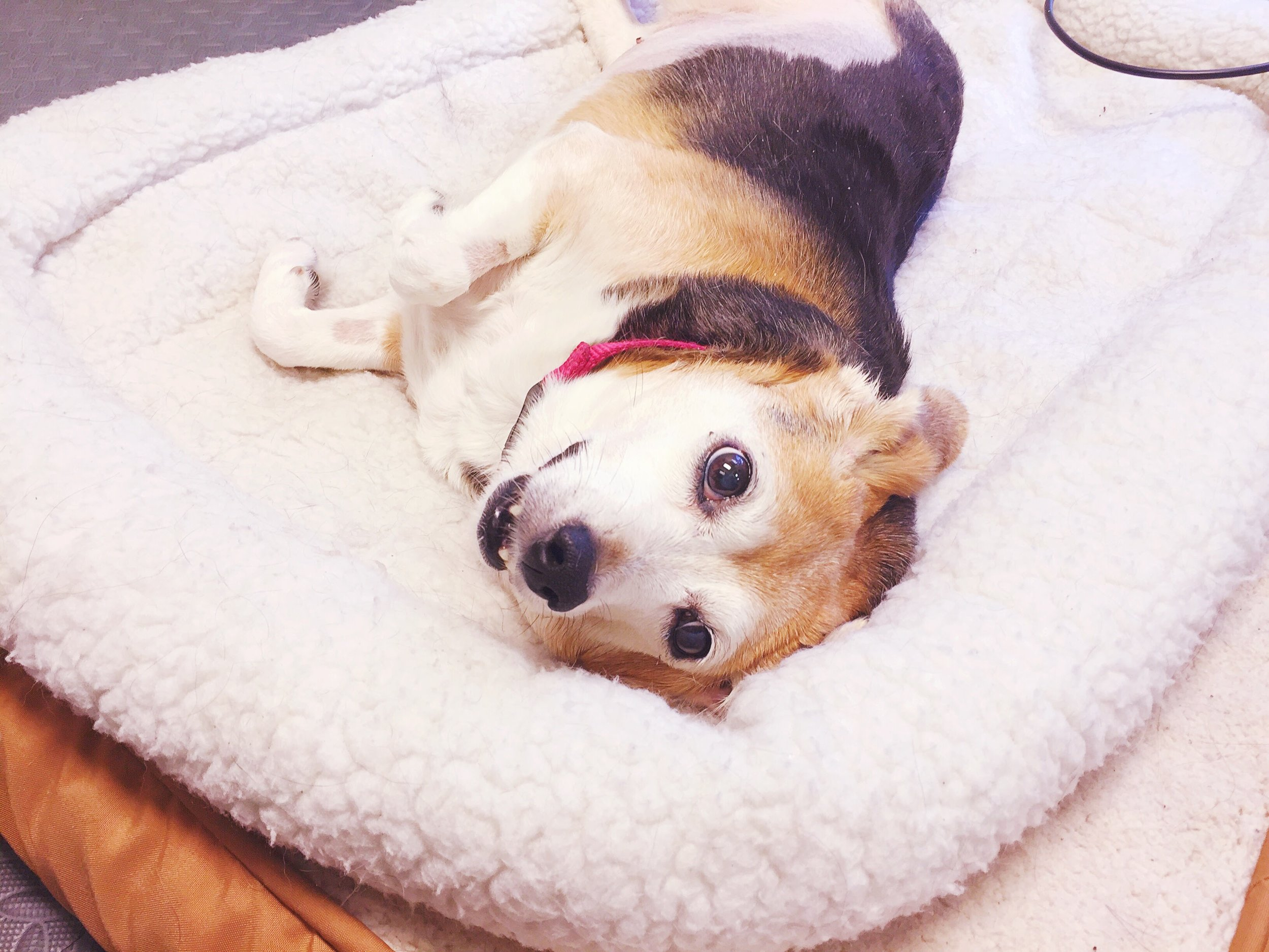 Meadow Beagle