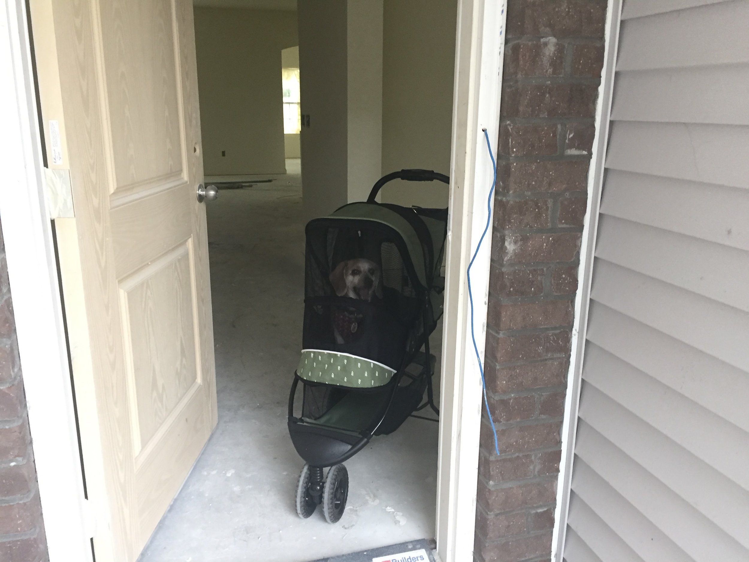 Greeting committee - MEadow Beagle in a Stroller