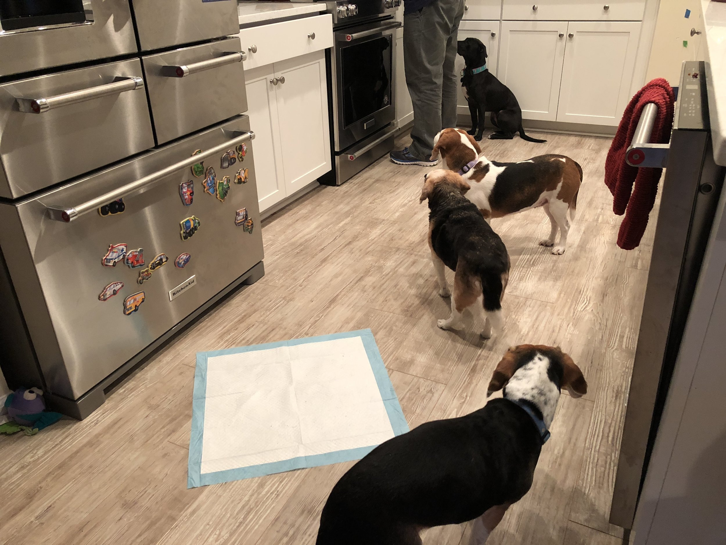 Meadow with the rest of the pack, begging for Bacon