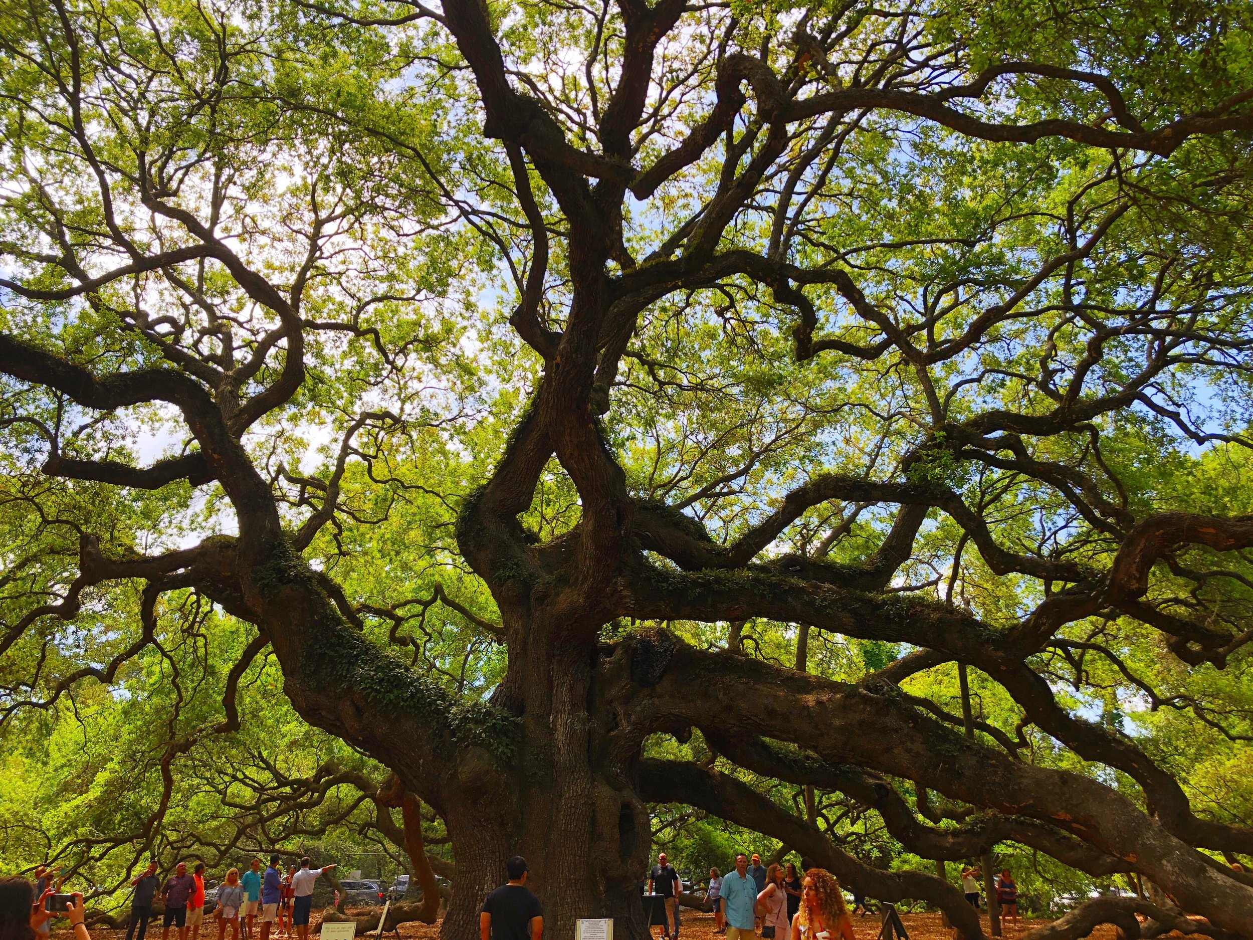 The Angel Oak, Estimated to be between 500-600 years old, on John's Island, SC