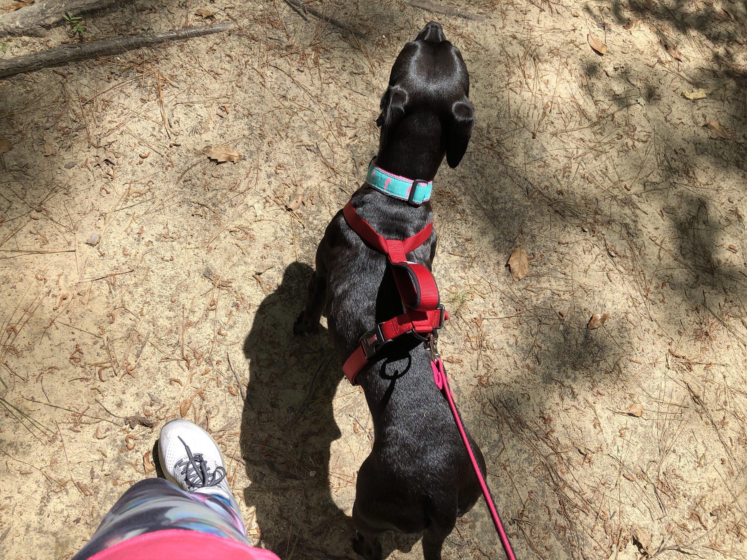 Macy dog hiking