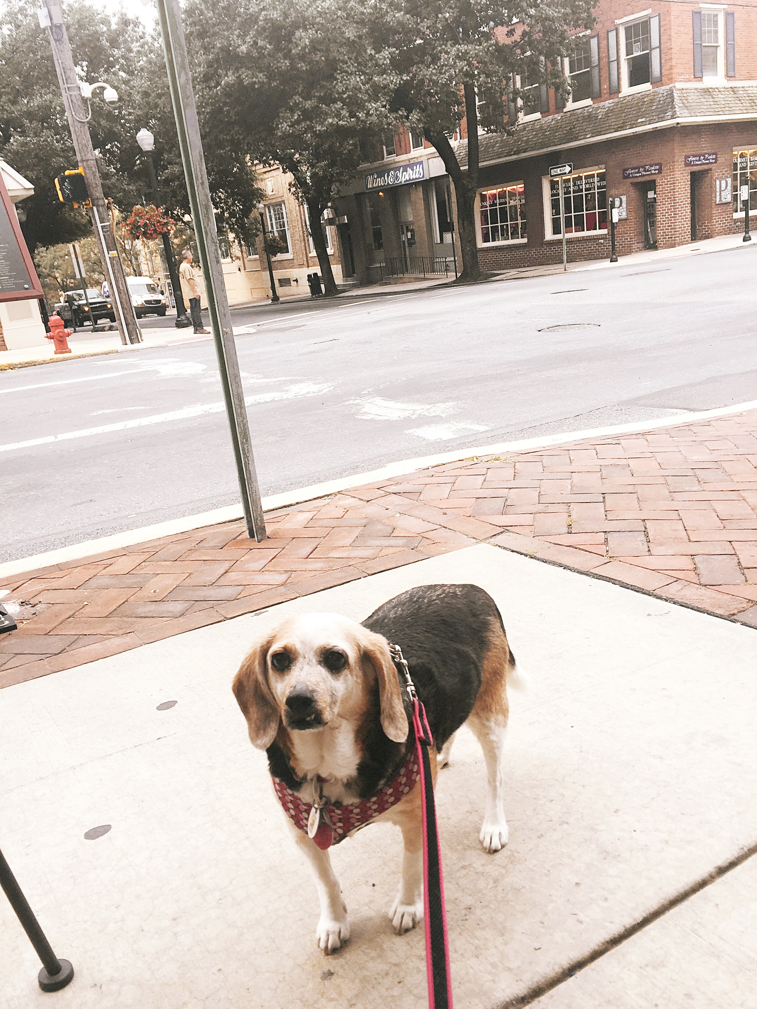 Meadow Beagle begging for bacon At Commonwealth on QUeen
