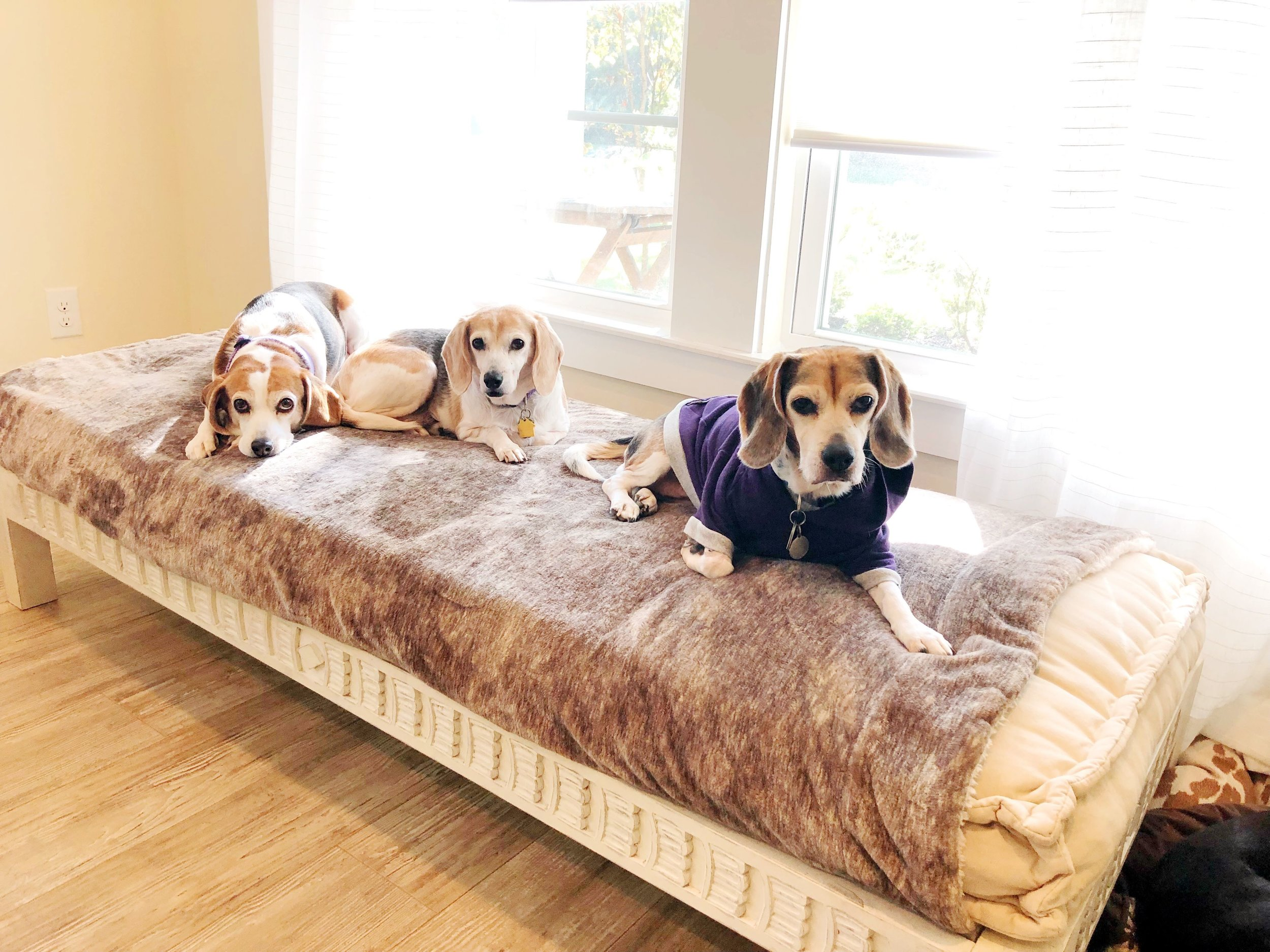 Our little beagles (front to back - Lucy Belle, Ruby Skye, Autumn)