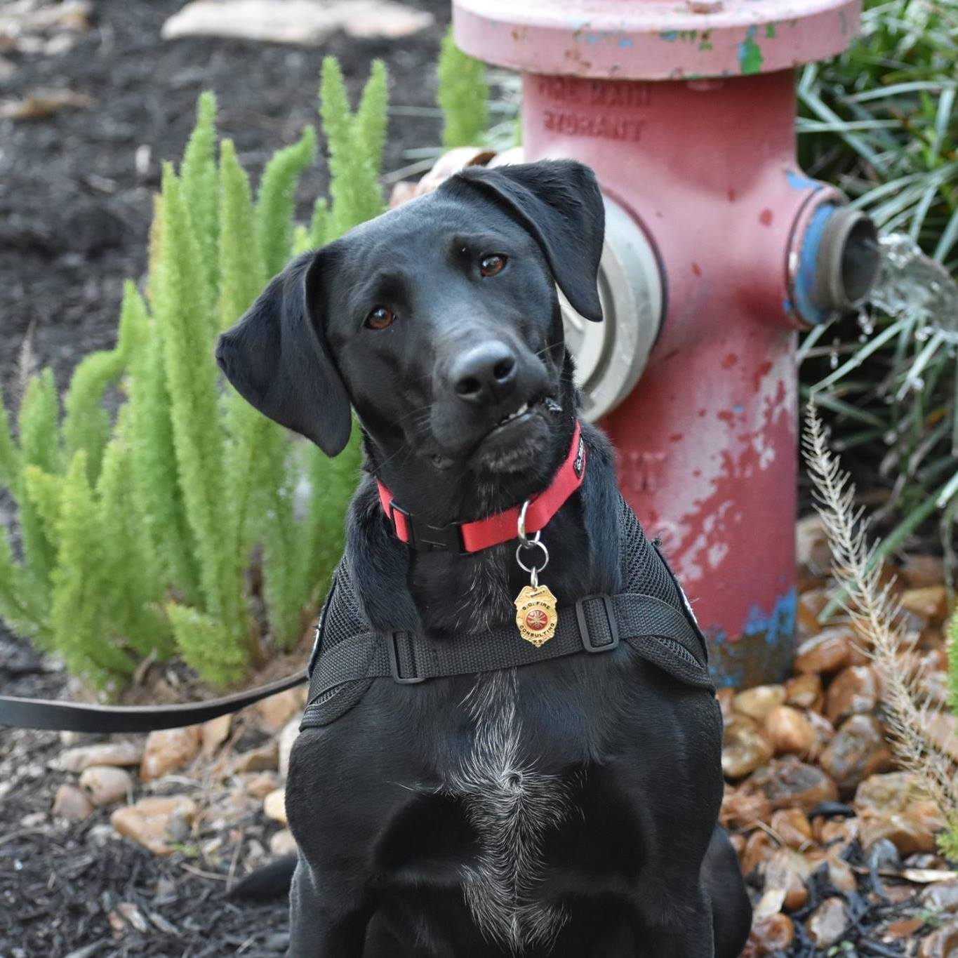 "Fire K9 ""Cinder""  ""Cinder"" is a certified Fire Accelerant Detection K9  Breed: Australian/Labrador Mix, Female DOB: September 18, 2015 Weight: 49 lbs Handler: Fire Investigator  Steve Chapman  Certified through  Firek9.org  & Canine Accelerant Detection Association  cadafiredogs.com/home  Trained by Lisa Caughlin &  Graduated from the Canine Academy  Training Center, Leander, Texas 2016  Cinder is trained to detect many types of ignitable liquids such as gasoline, kerosene, lighter fluids, diesel fuel and many more. An accelerant detection K-9 is a tool used to assist the fire investigator to determine if an ignitable liquid may have been used to start a fire and commit arson. When the K-9 alerts a sample is collected at that location and sent to a laboratory for analysis and confirmation. Her sense of smell is estimated to be 100,000 times more sensitive than a human. Cinder is a private sector K-9 used by insurance companies to rule out fraud and arson."