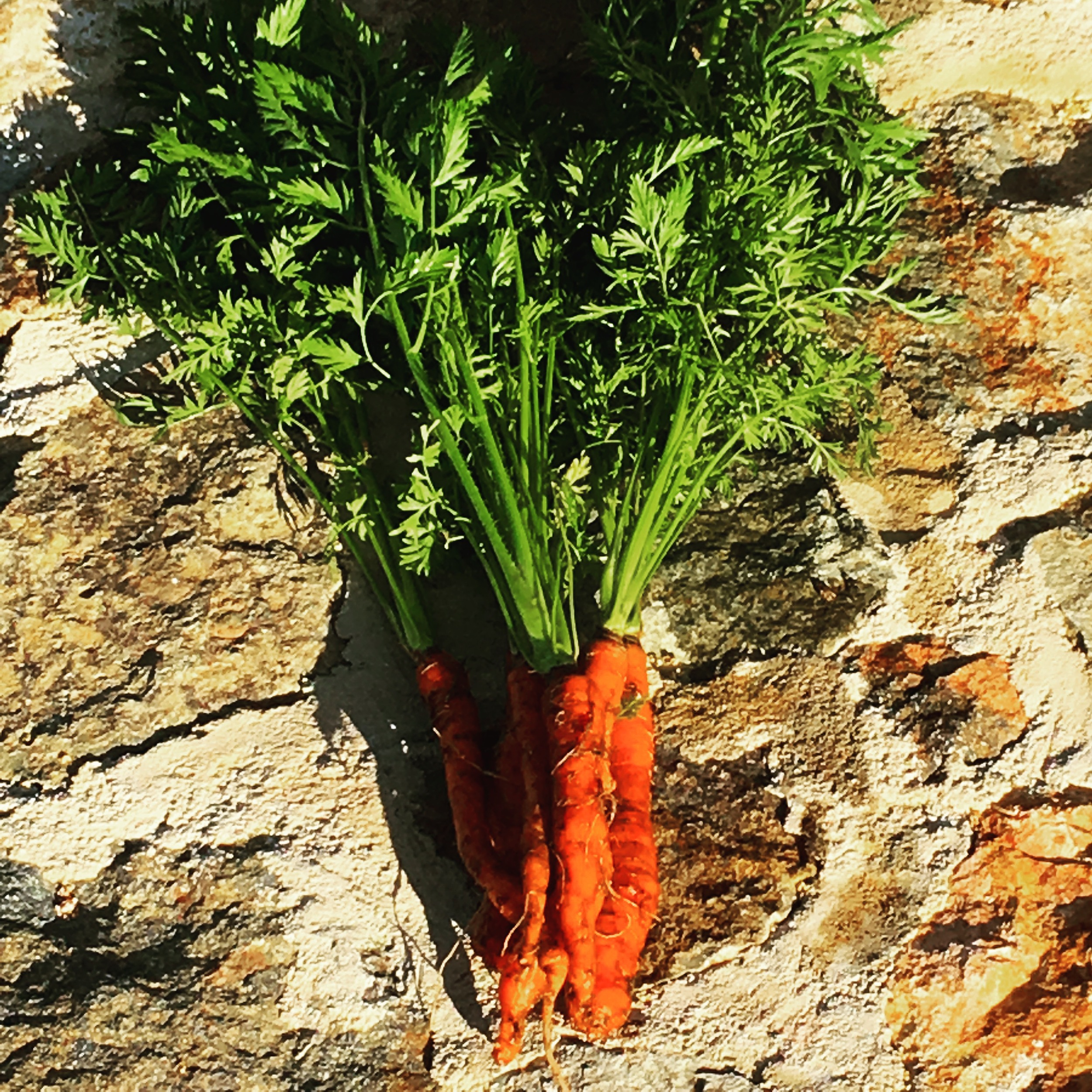 Spring is here! Freshly picked carrots from the garden.
