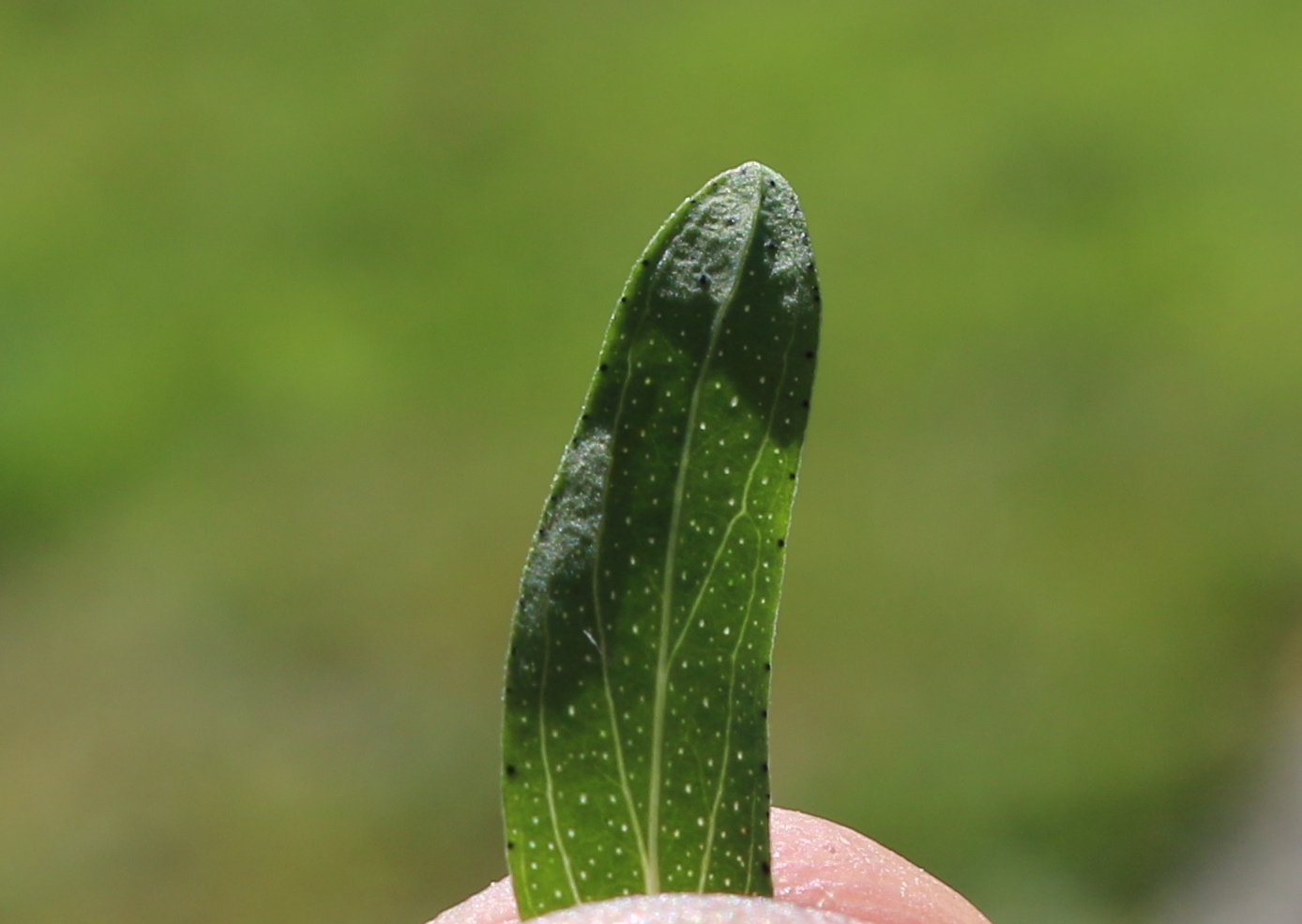 Notice the transparent holes in the leaf