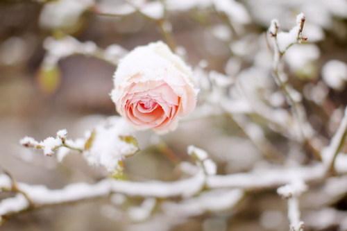 snowflower.jpg