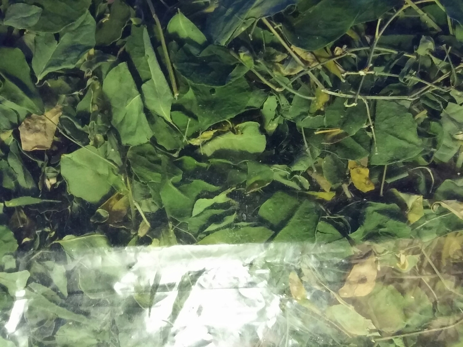 Loose dry Moringa oleifera leaves