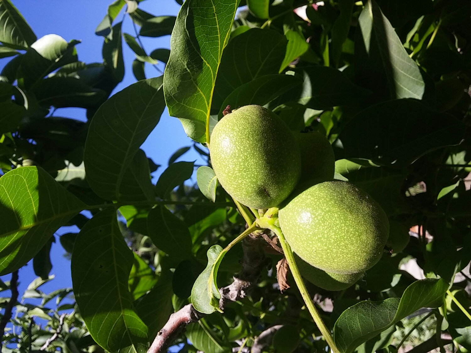 Walnut fruit on tree.