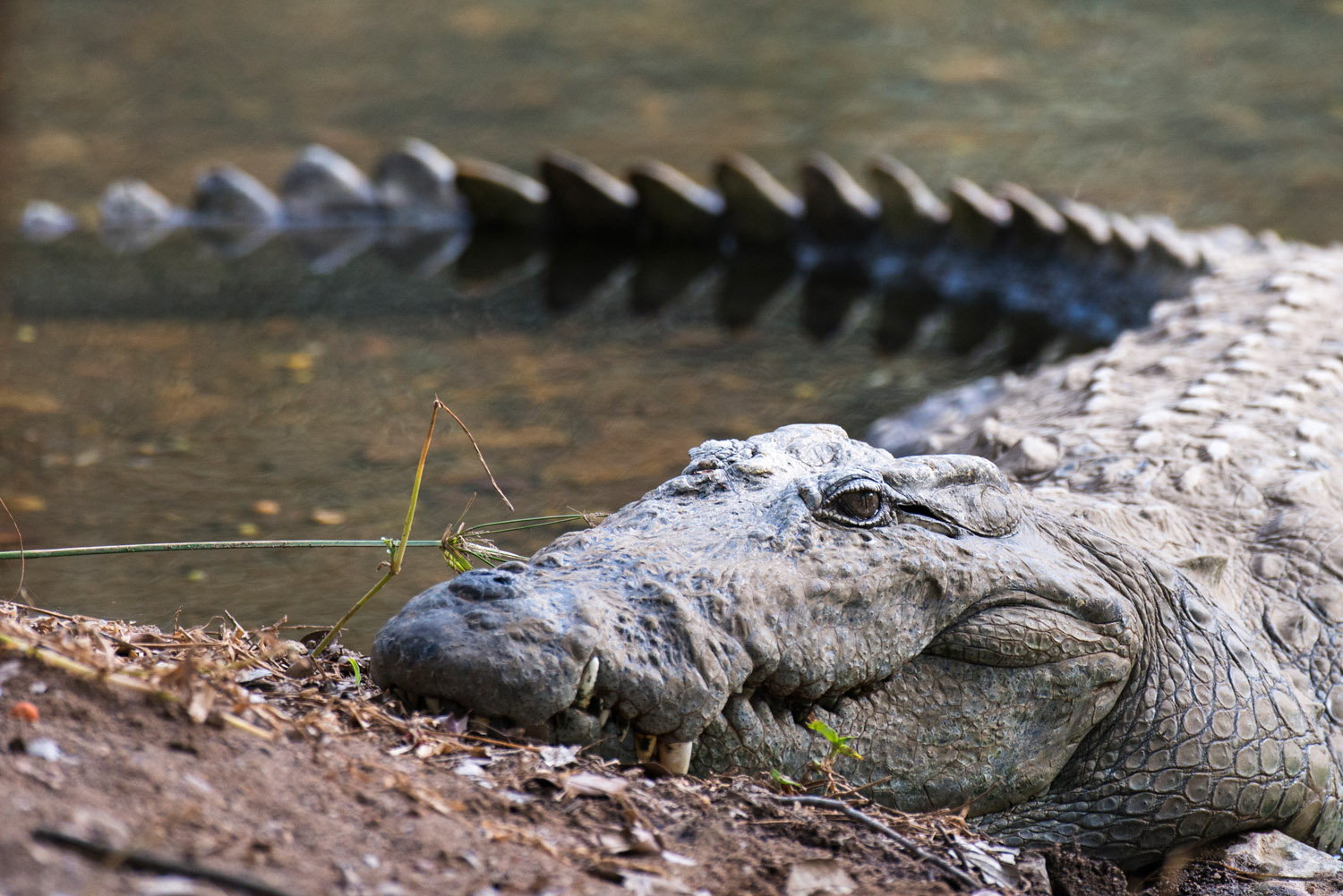 Indian 'mugger' crocodile, Ranthambhore National Park, Rajasthan, India
