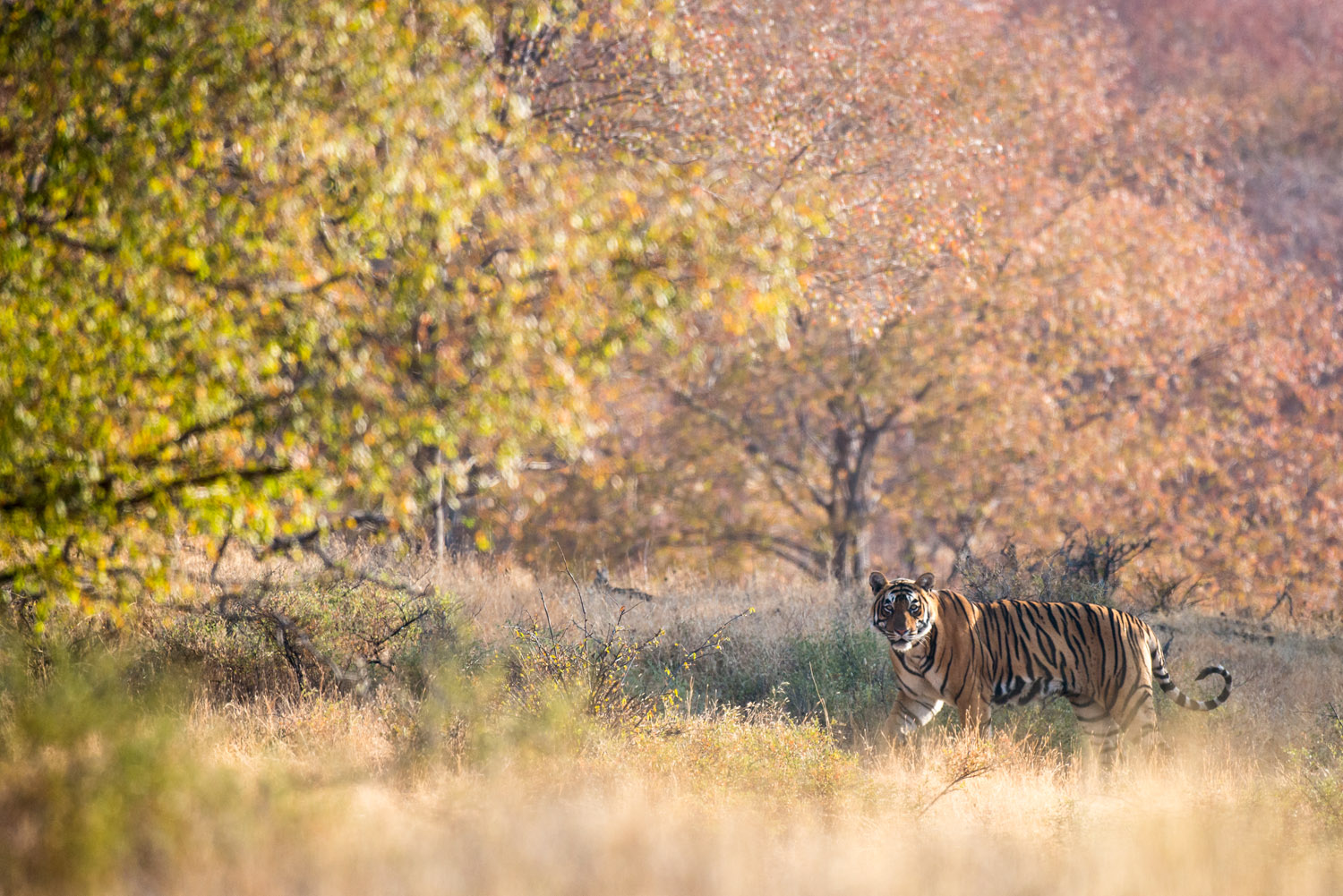 Bengal tiger in autumnal forest, Ranthambhore National Park, Rajasthan, India
