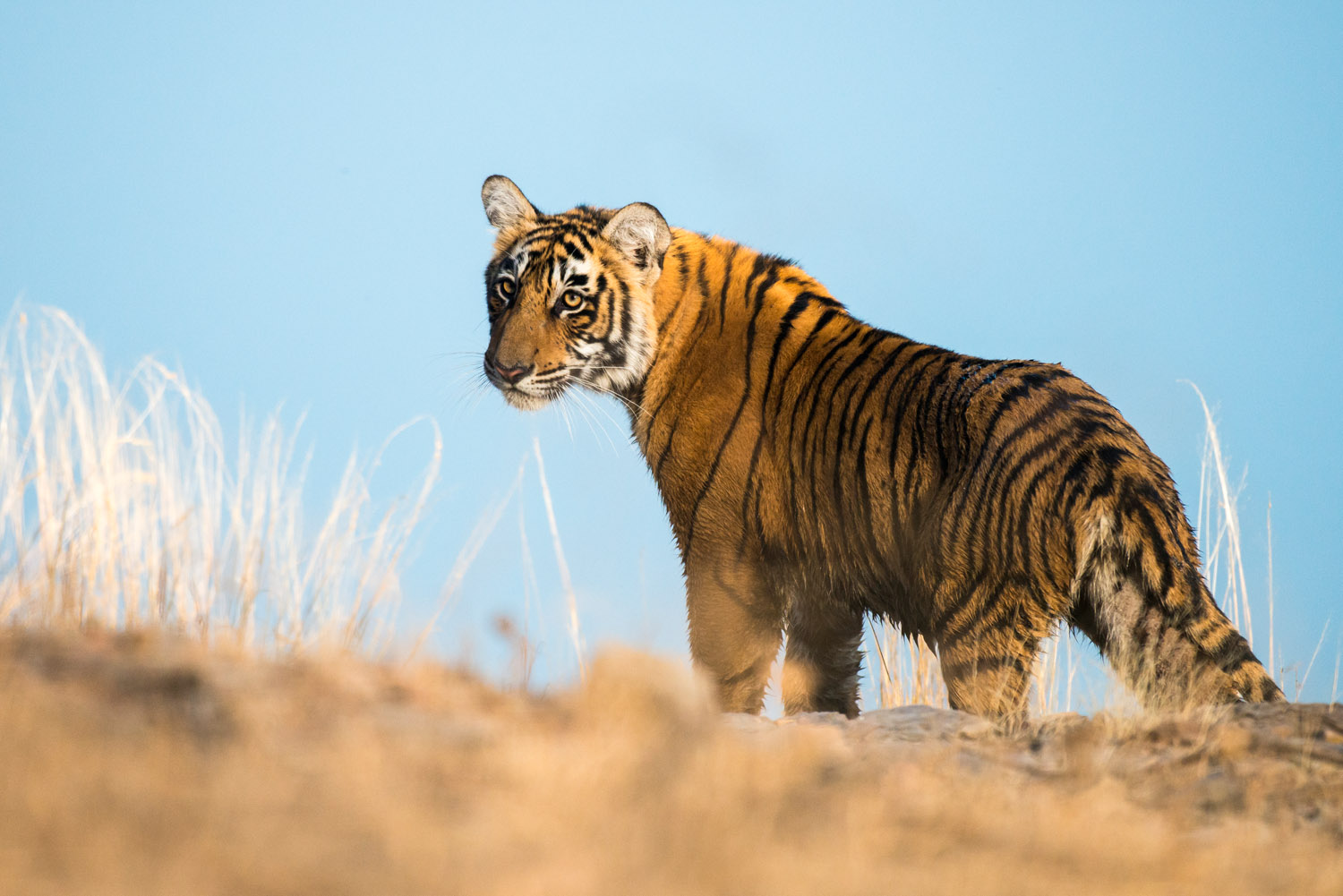 Bengal tiger cub by Lake Rajbagh, Ranthambhore National Park, Rajasthan, India