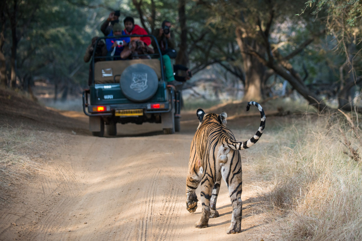 Bengal tiger approaching tourists in jeep, Ranthambhore National Park, Rajasthan, India