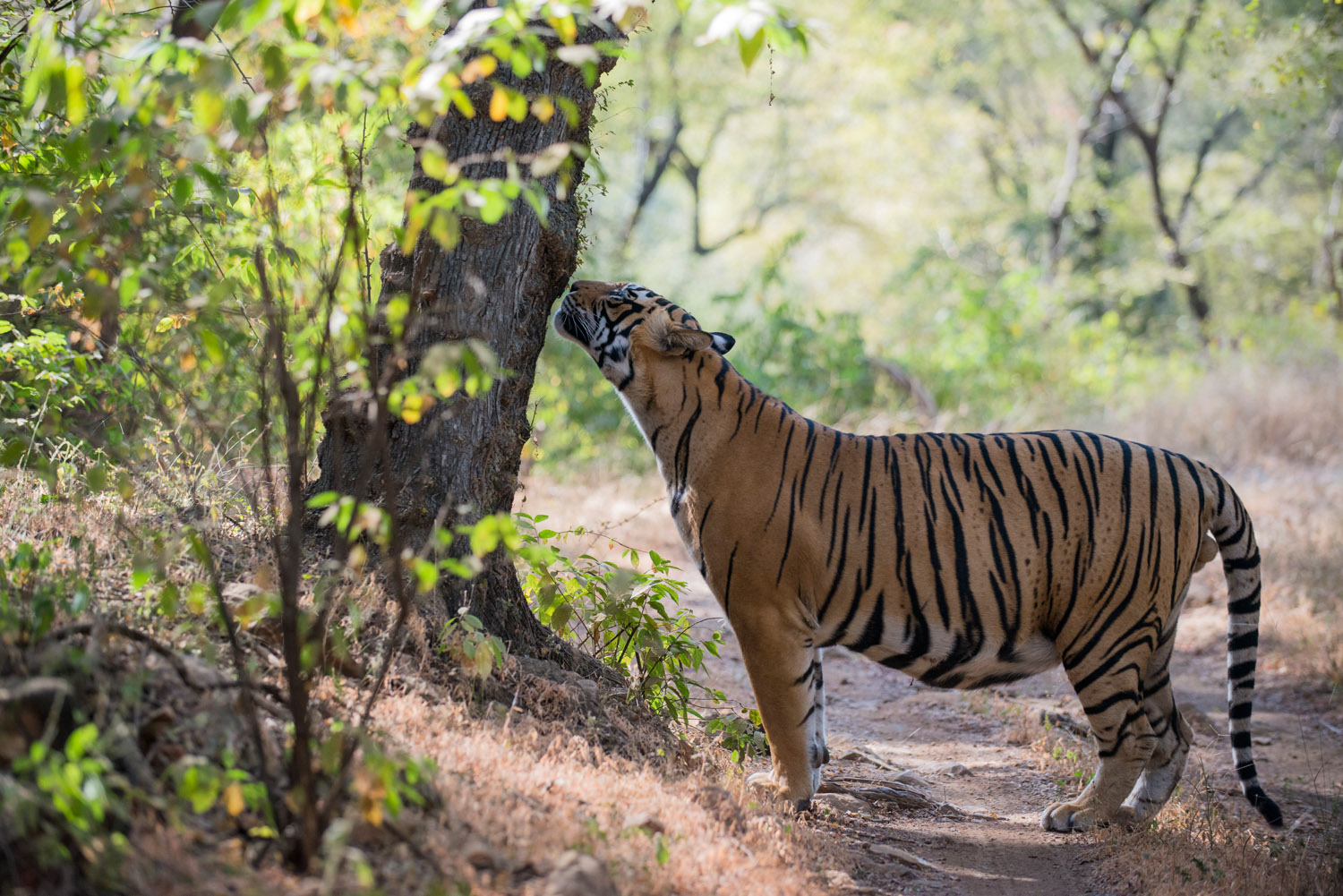 Bengal tiger smelling scent mark on tree, Ranthambhore National Park, Rajasthan, India